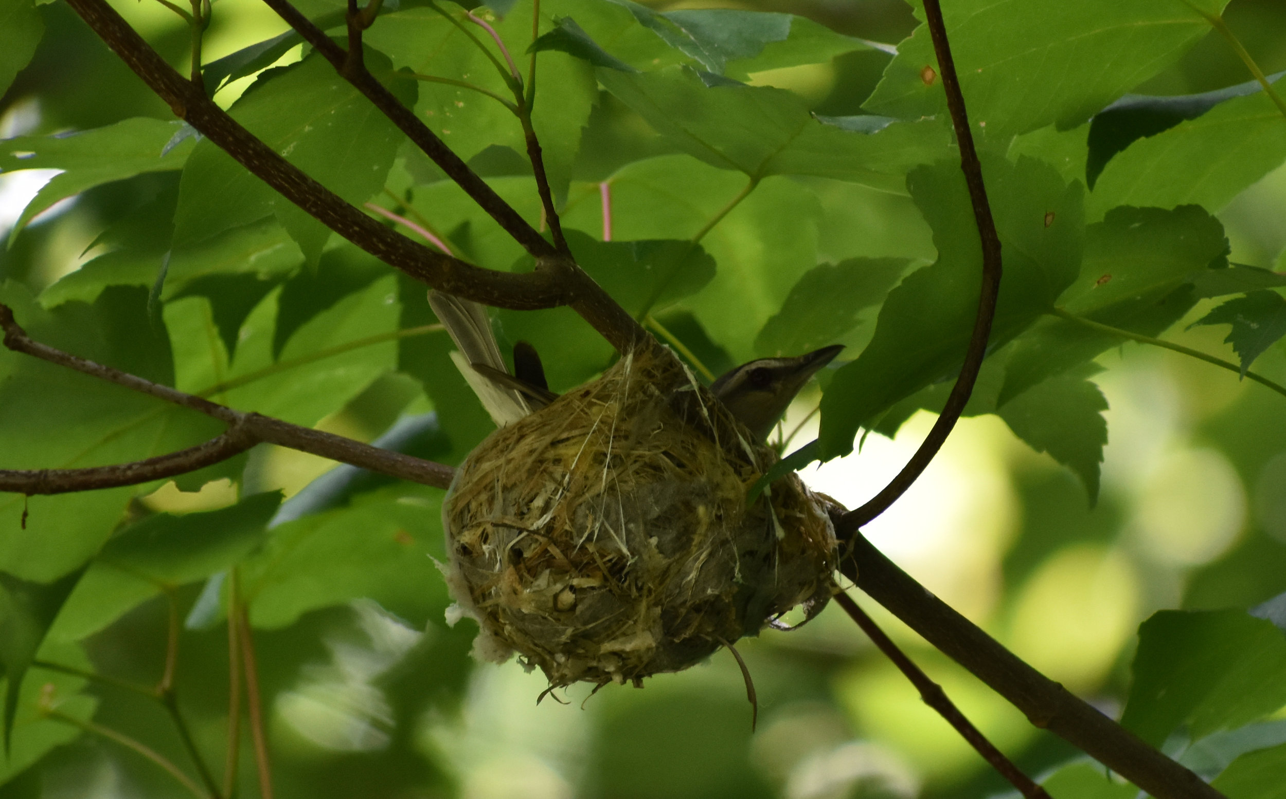 Red-Eyed Vireo nest in Red Maple