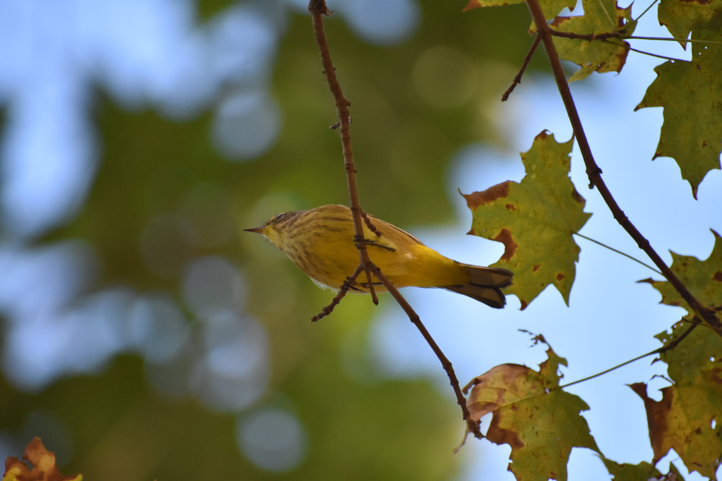 Palm Warbler in Sugar Maple