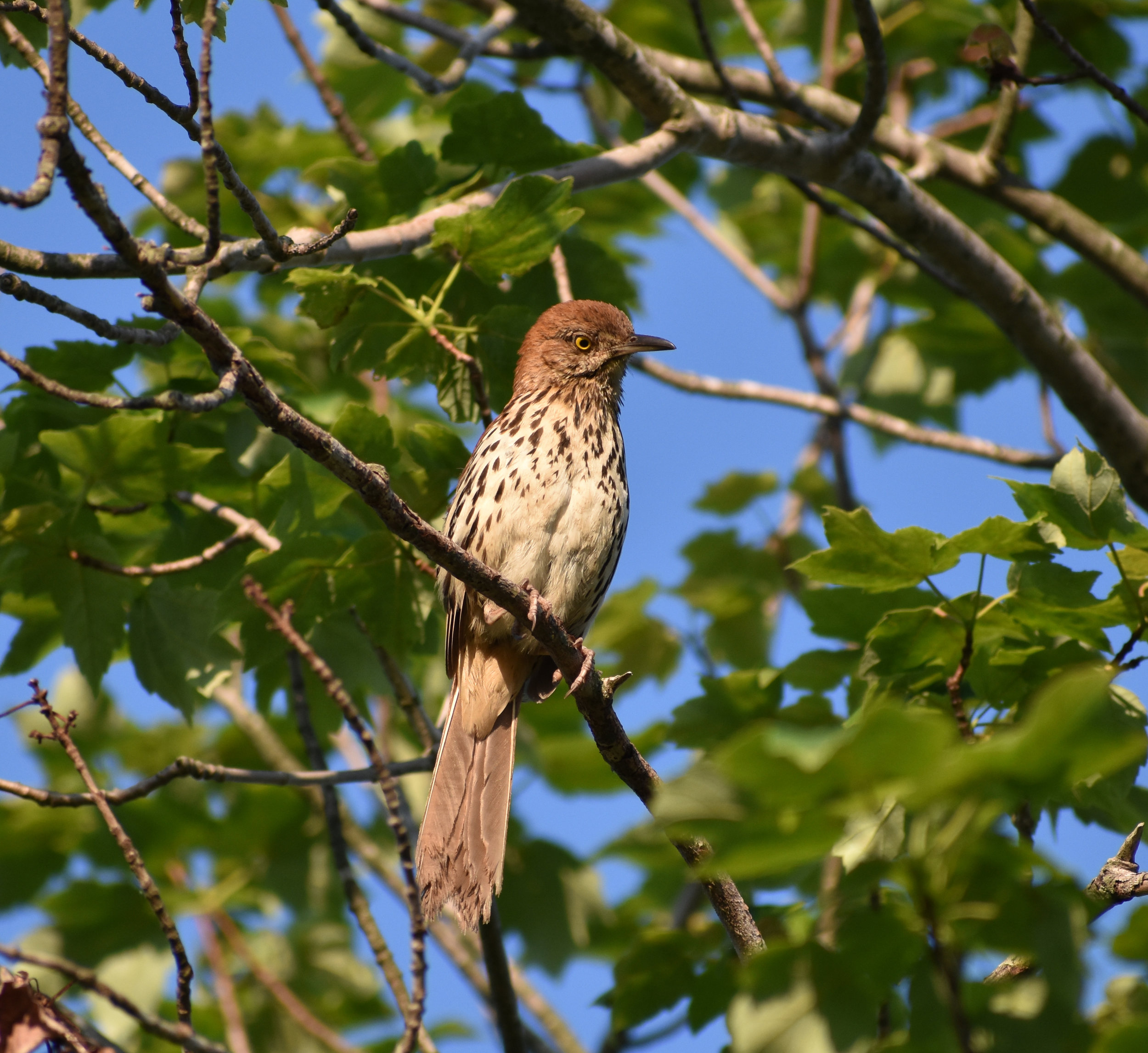 Brown Thrasher in Red Maple