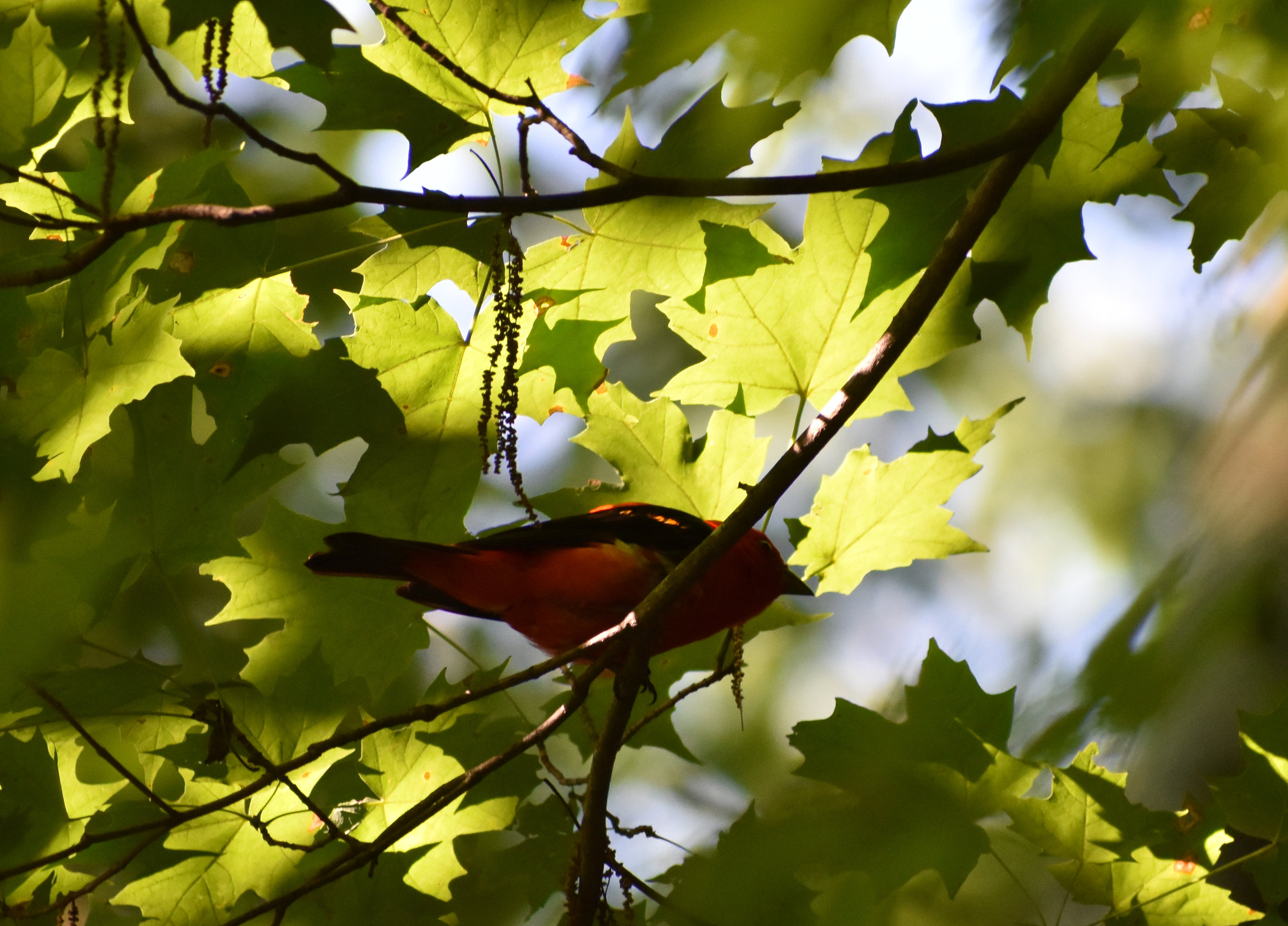 Scarlet Tanager in Sugar Maple