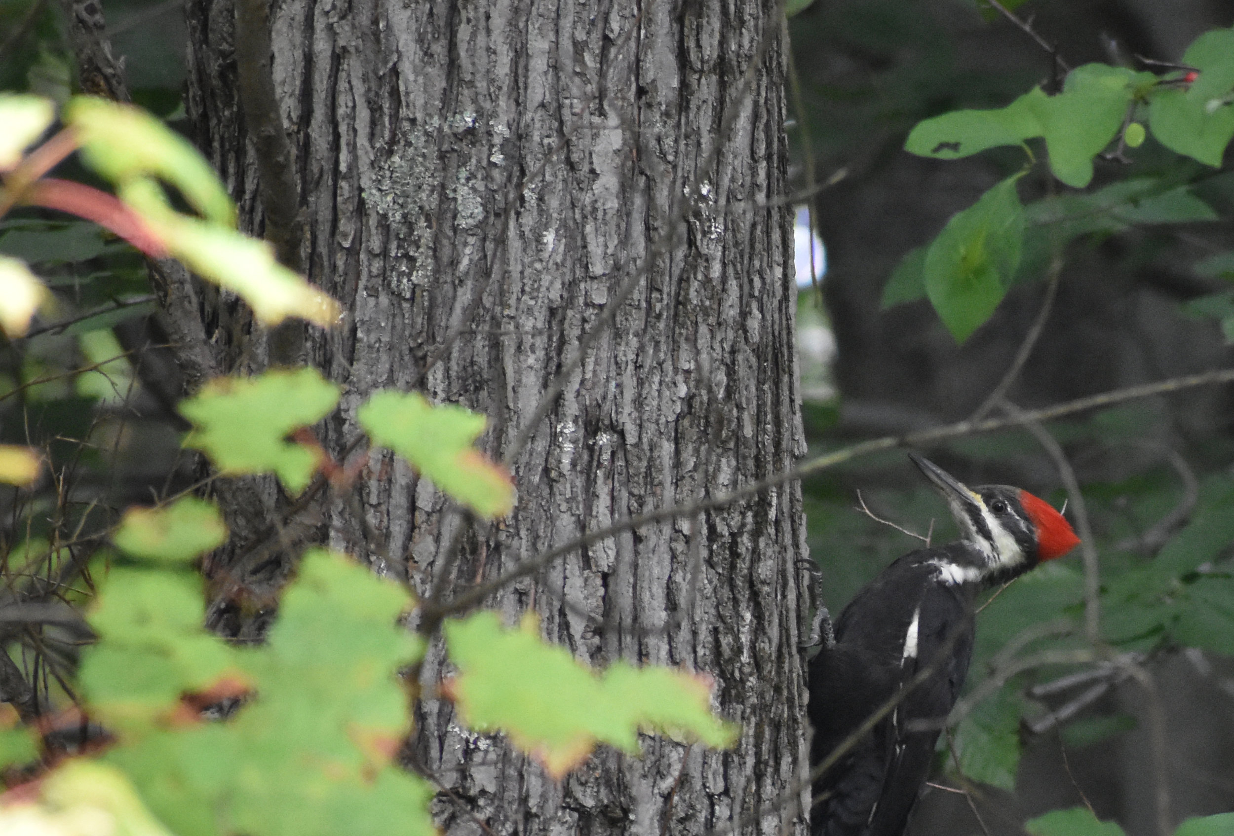 Pileated Woodpecker on Red Maple