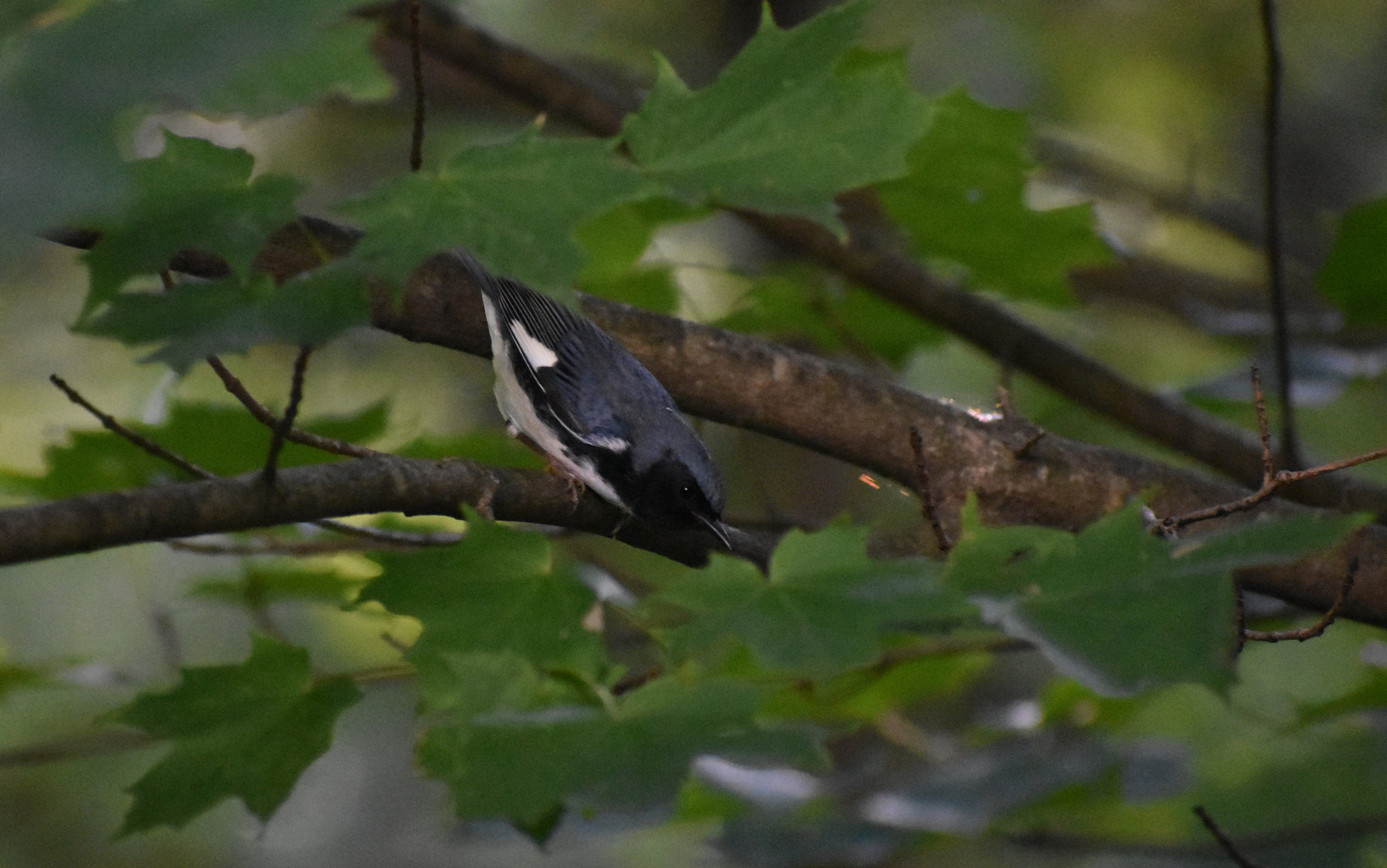 Black-Throated Blue Warbler on Red Maple