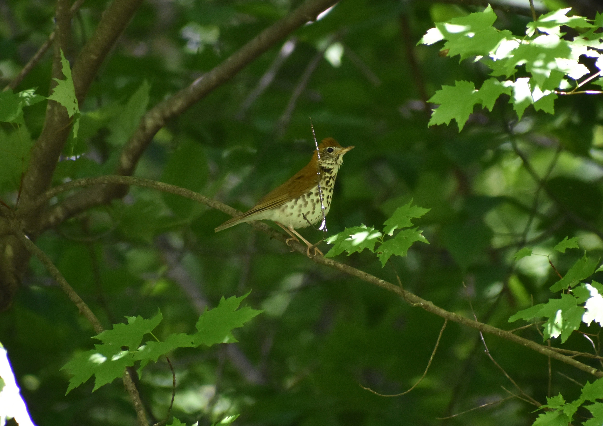 Wood Thrush in Red Maple