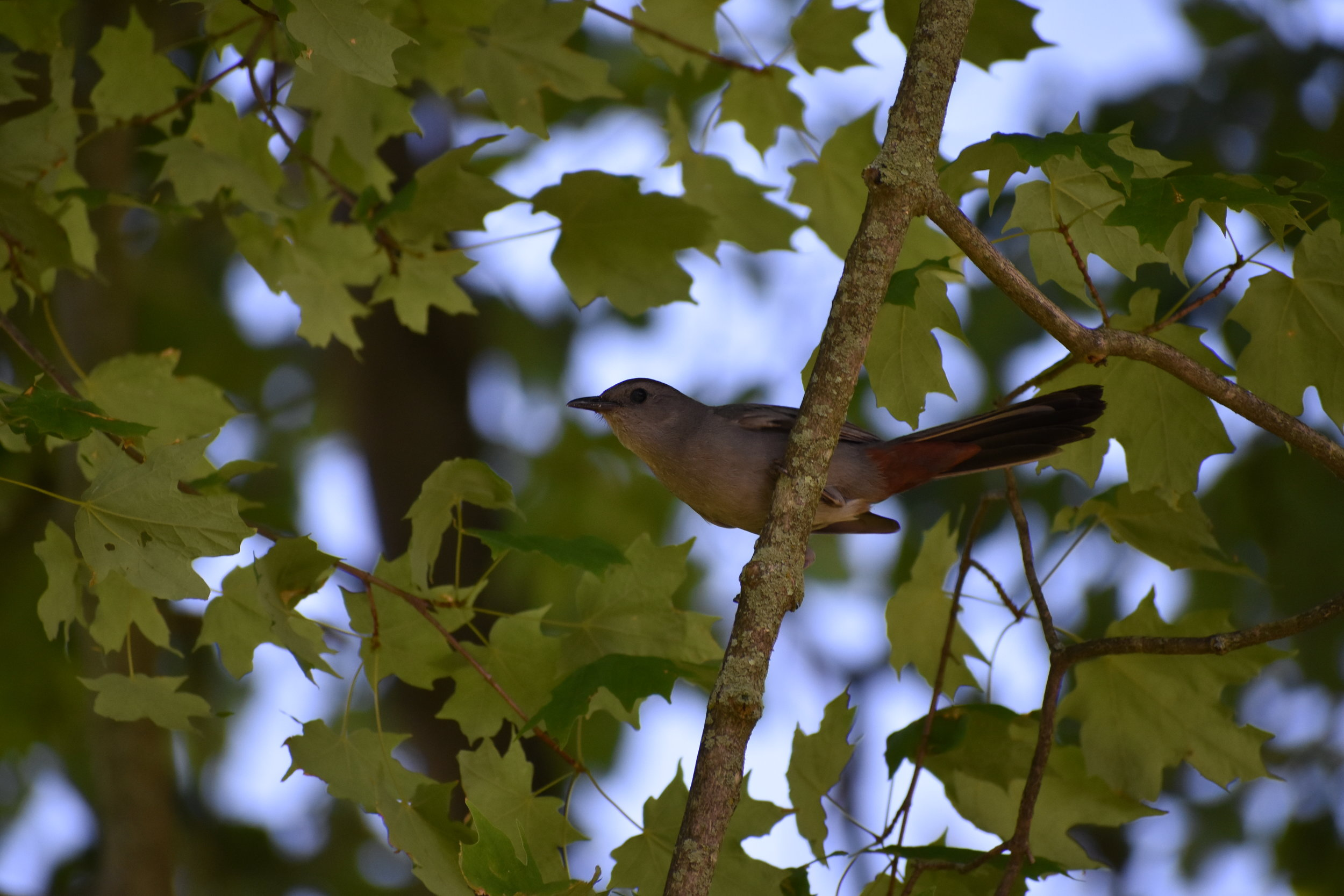 Gray Catbird in Sugar Maple
