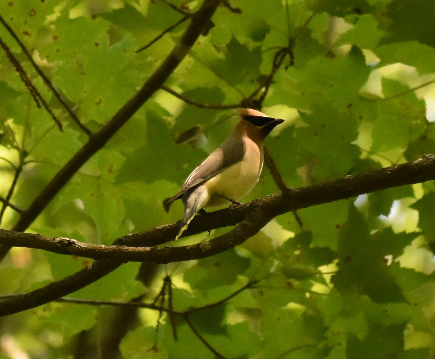 Cedar Waxwing in Red Maple