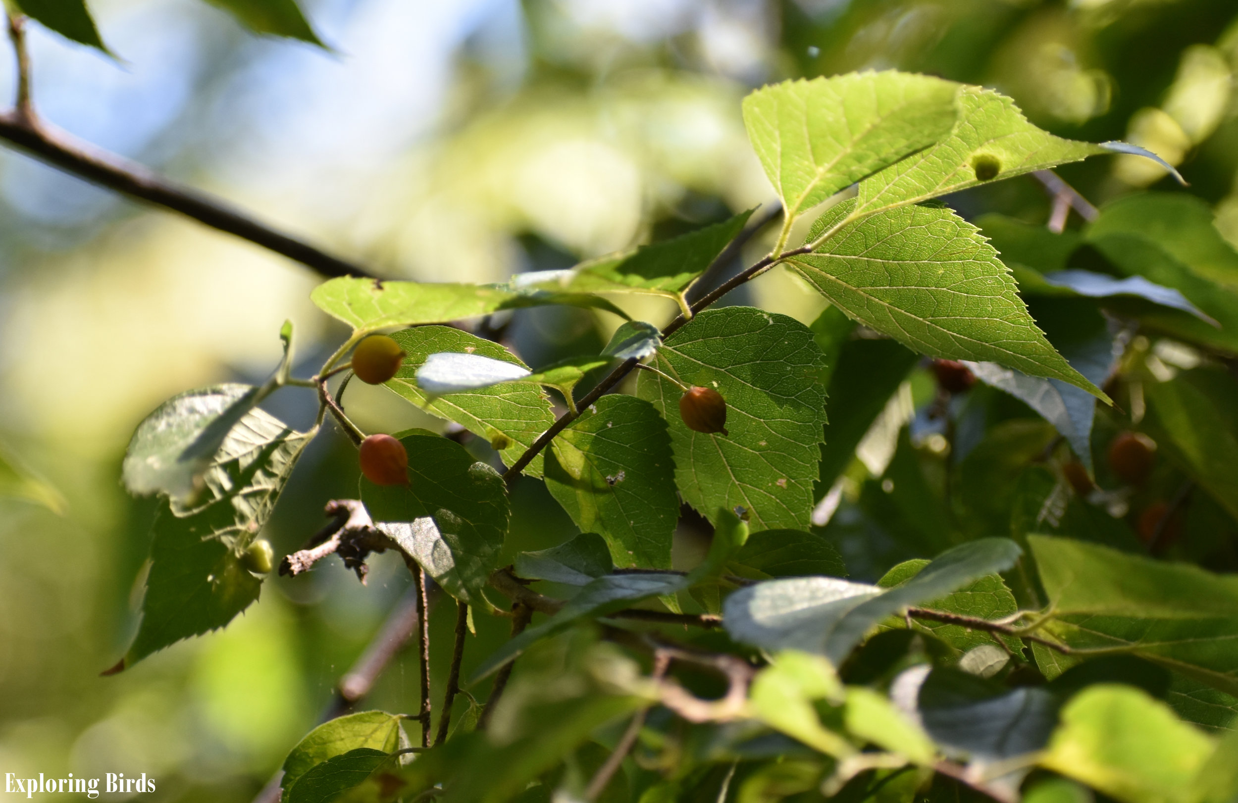 Northern Hackberry is a tree that attracts birds