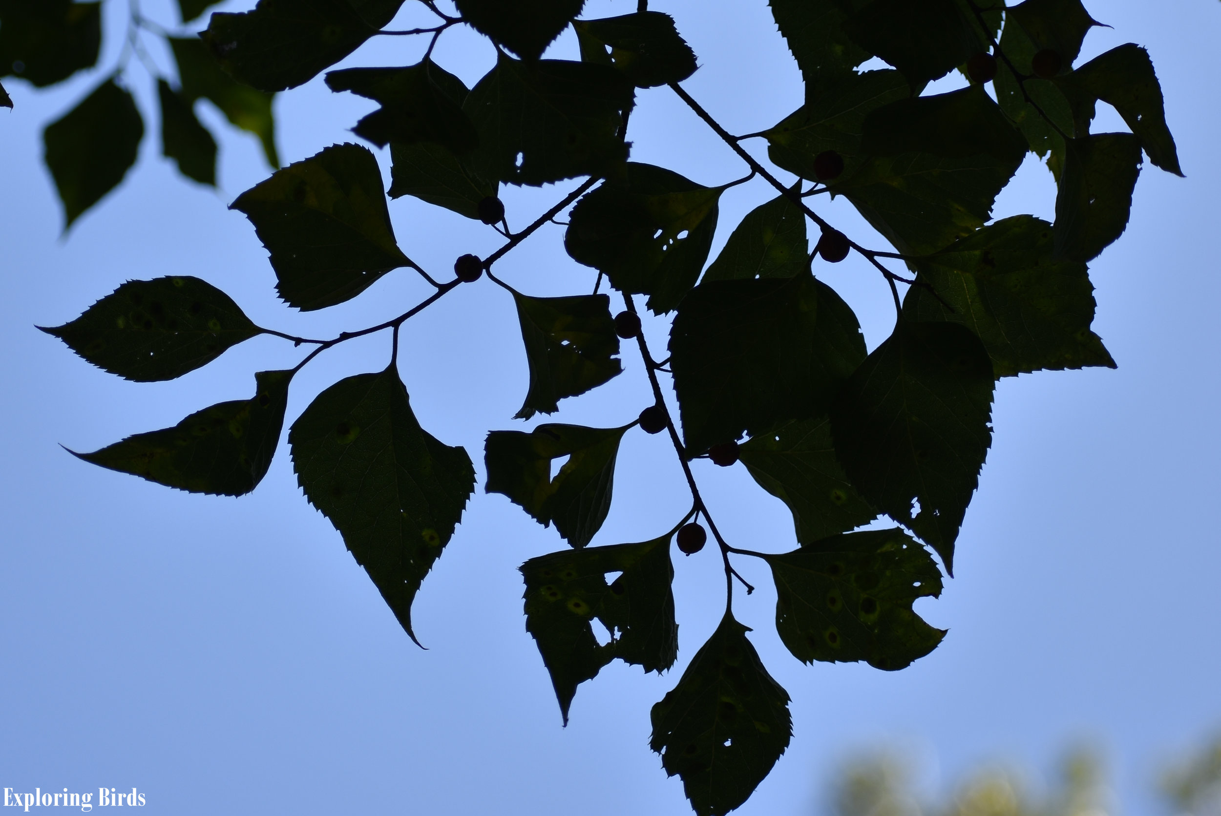 Northern Hackberry leaves