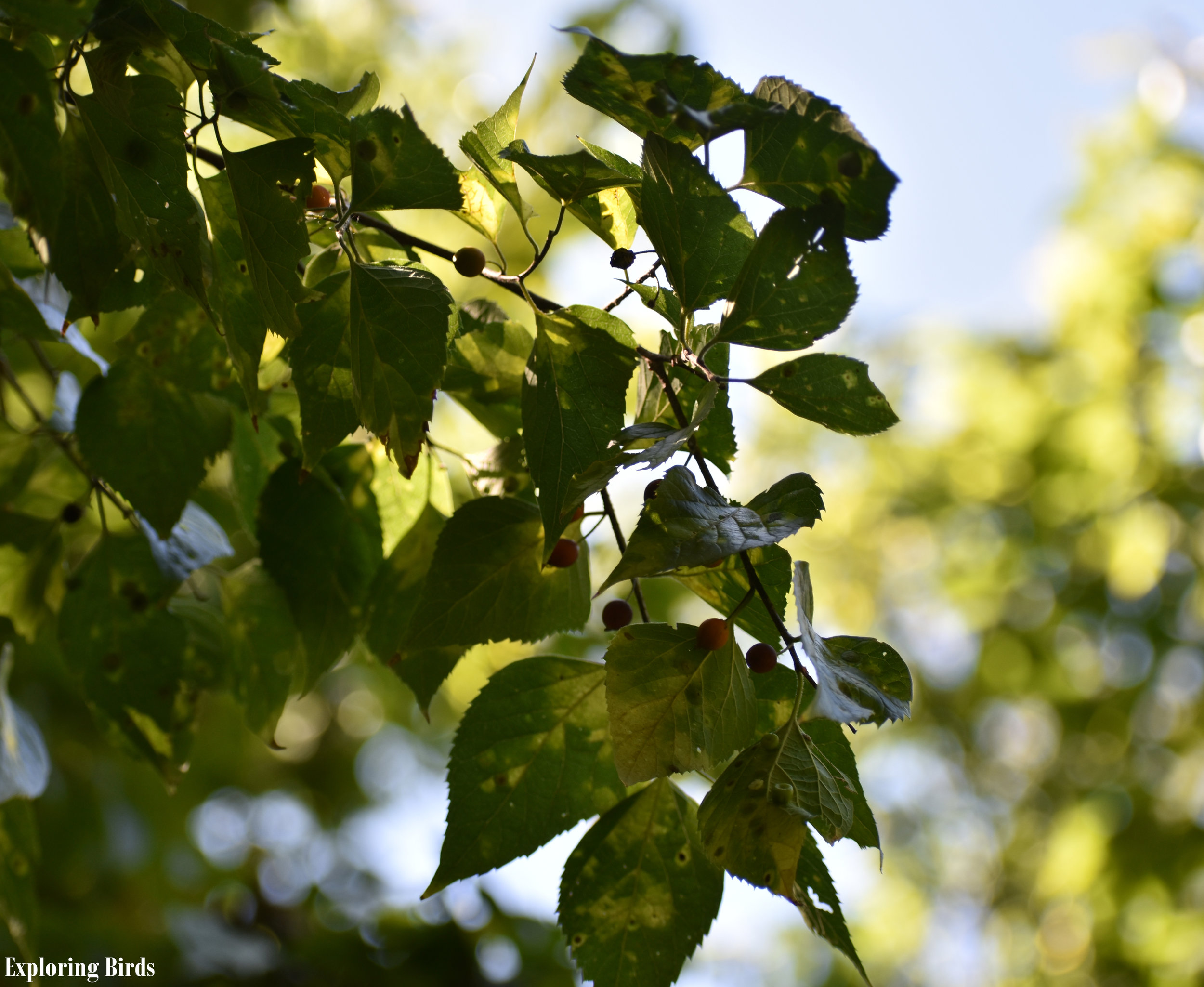Northern Hackberry berries are eaten by birds
