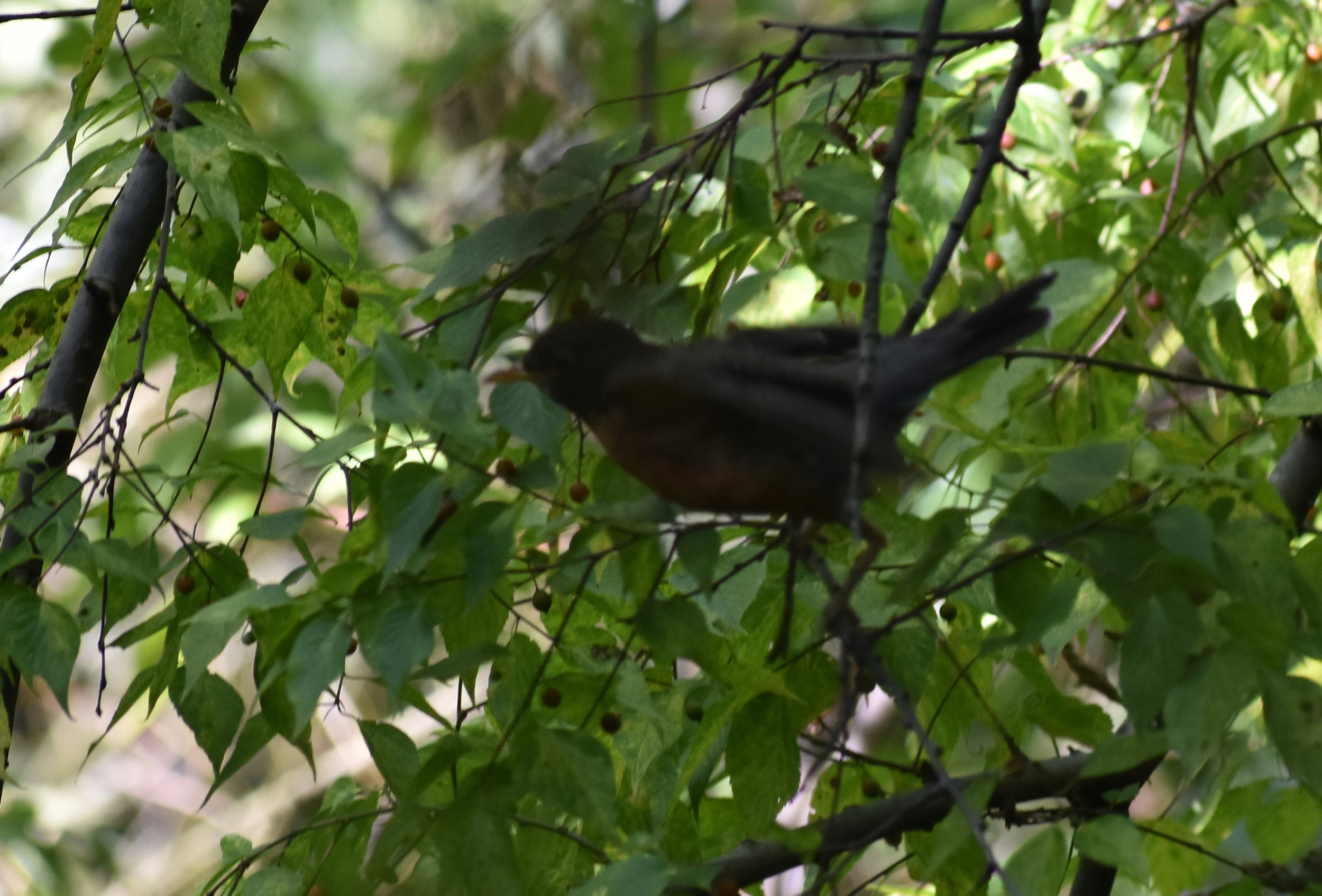American Robin in Northern Hackberry