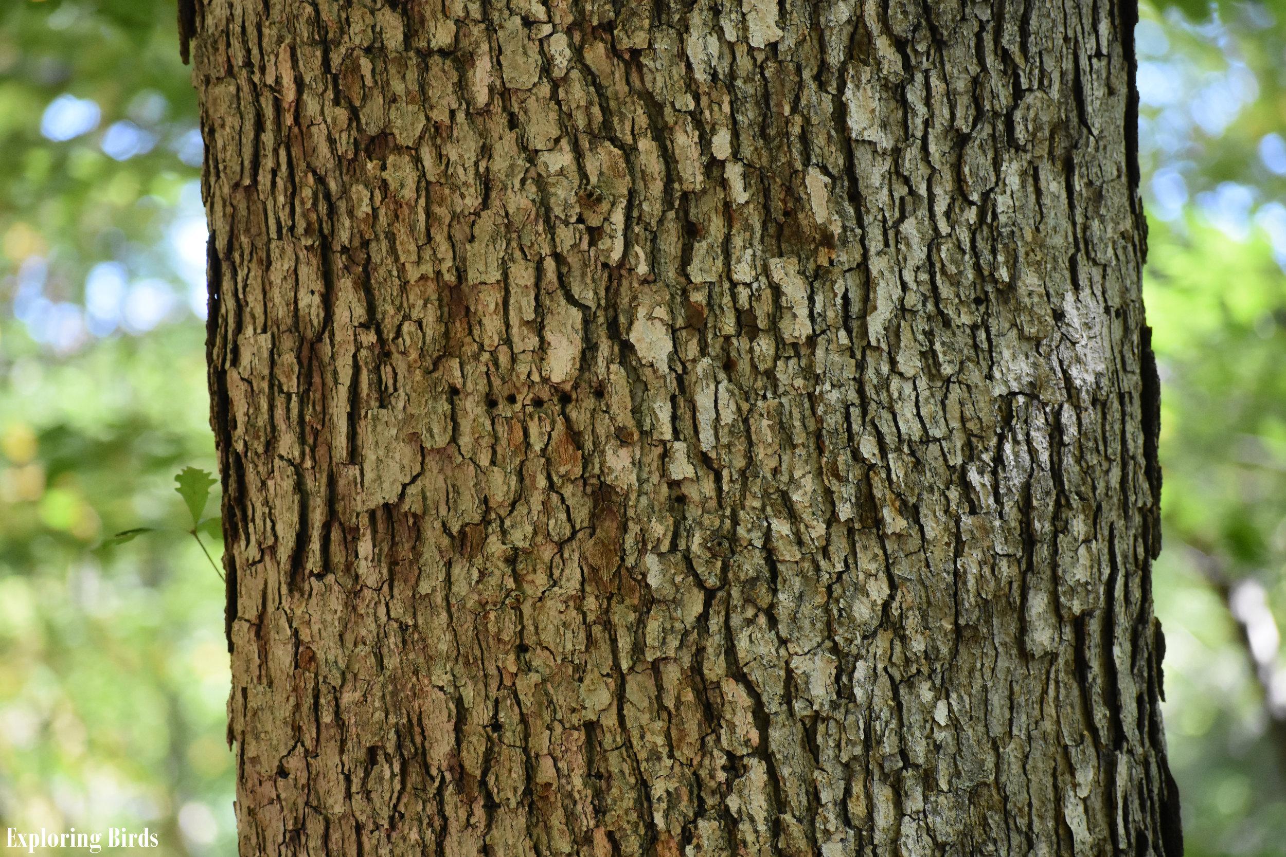 White Oak Bark Identification