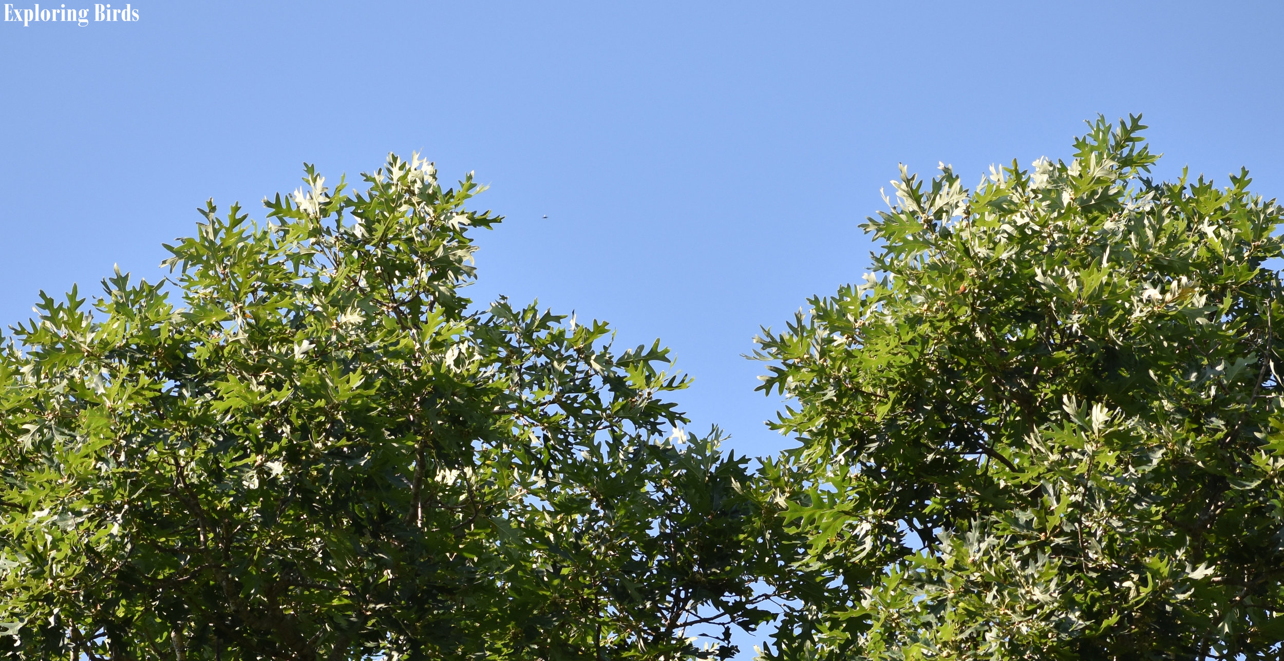 White Oak is a tree that attracts birds