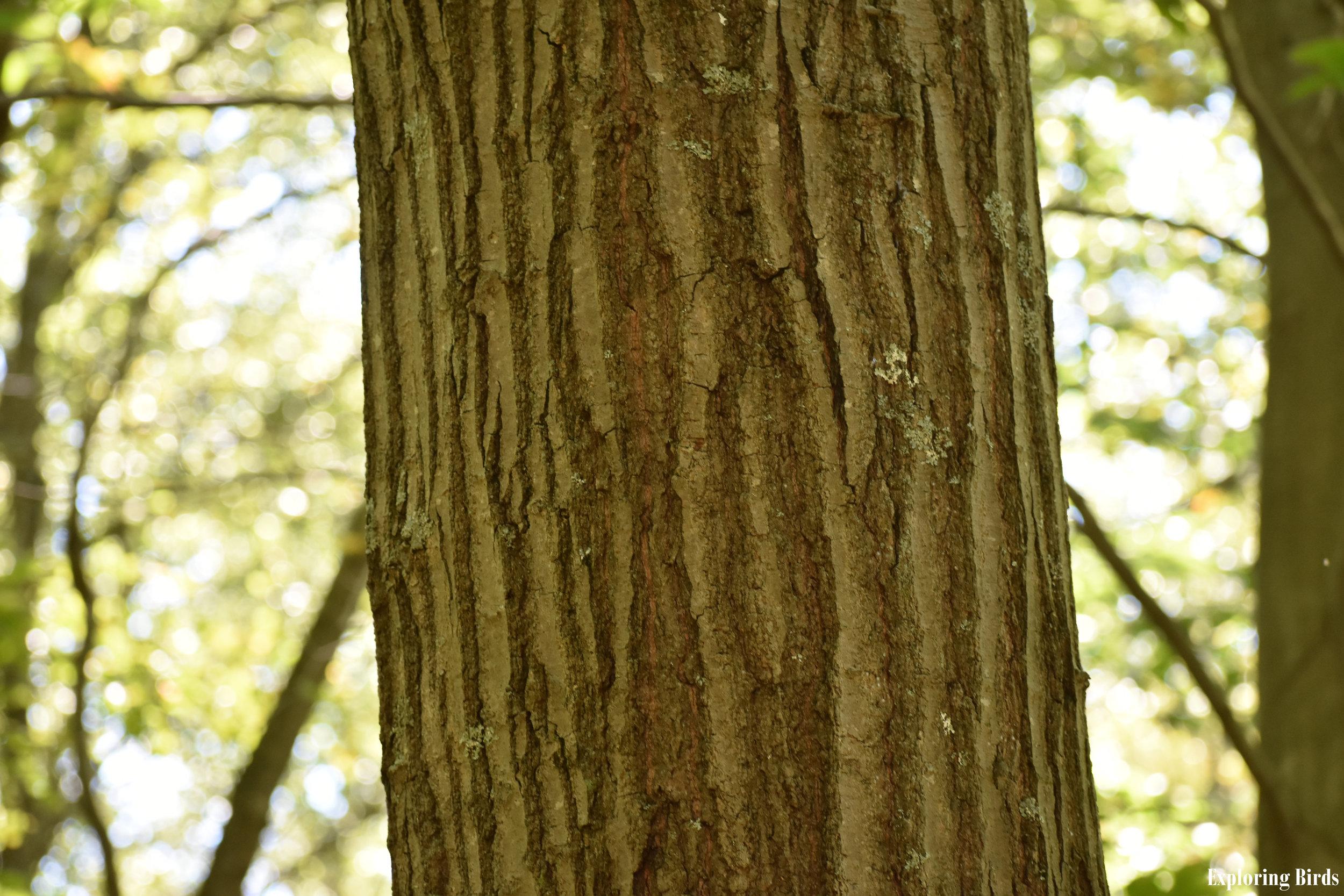 Red Oak Bark Identification