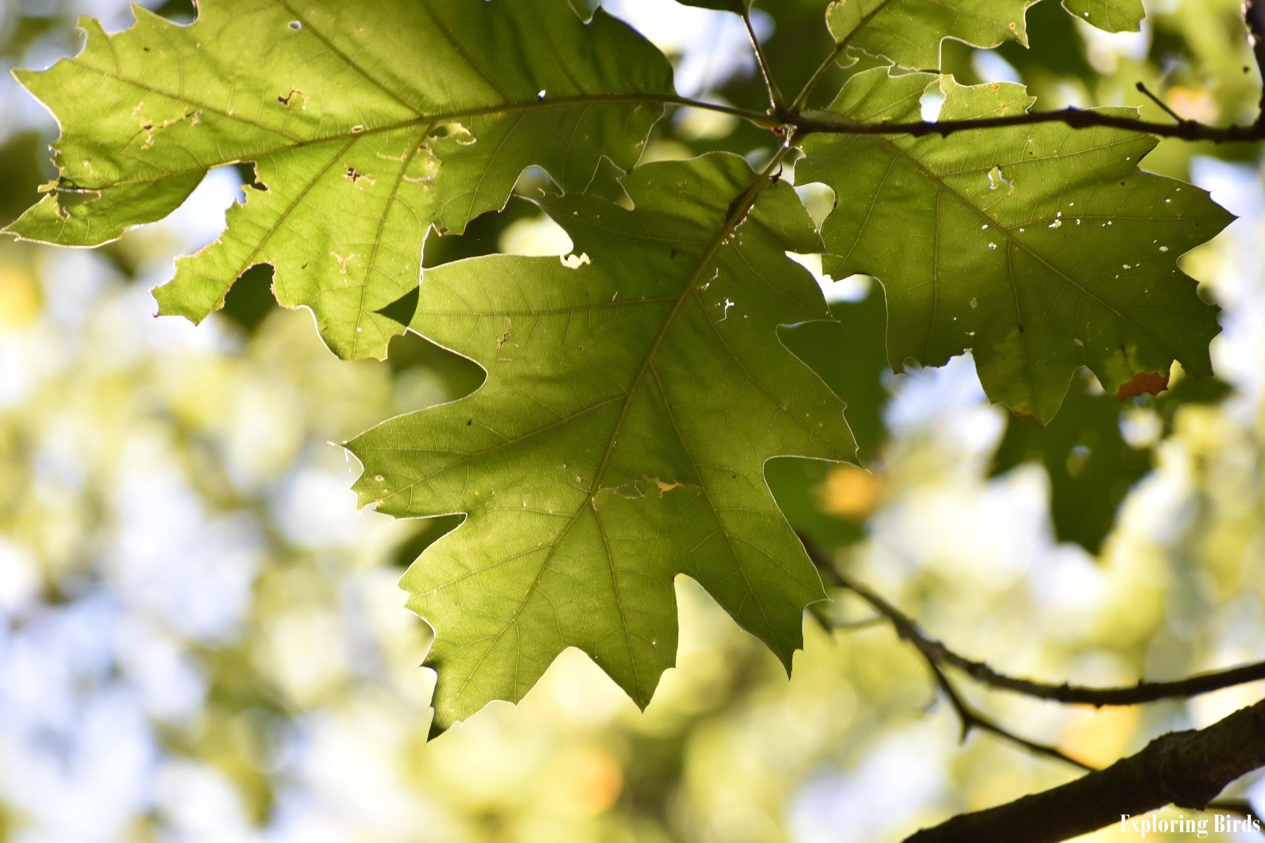Red Oak Leaf Identification