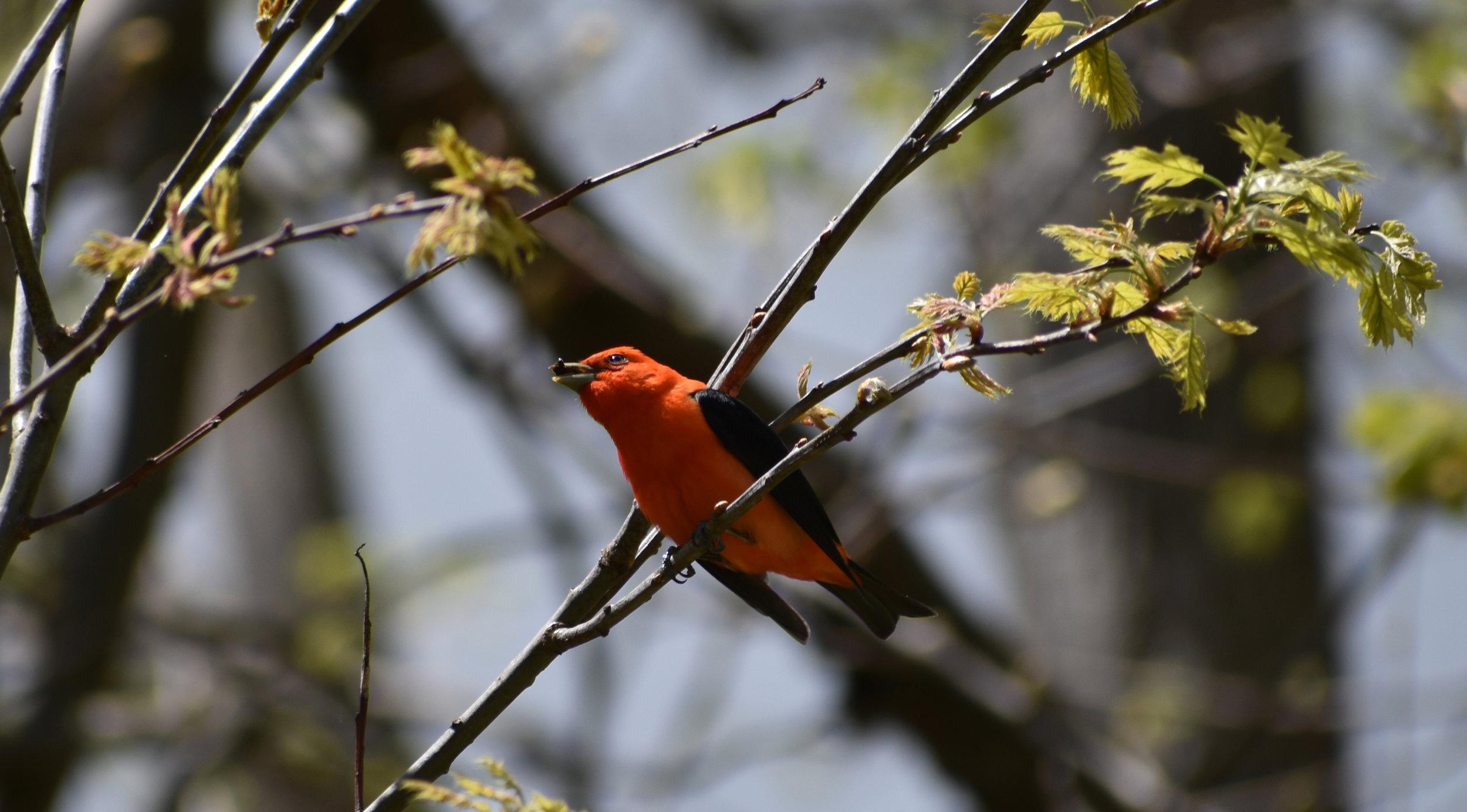 Scarlet in Red Oak