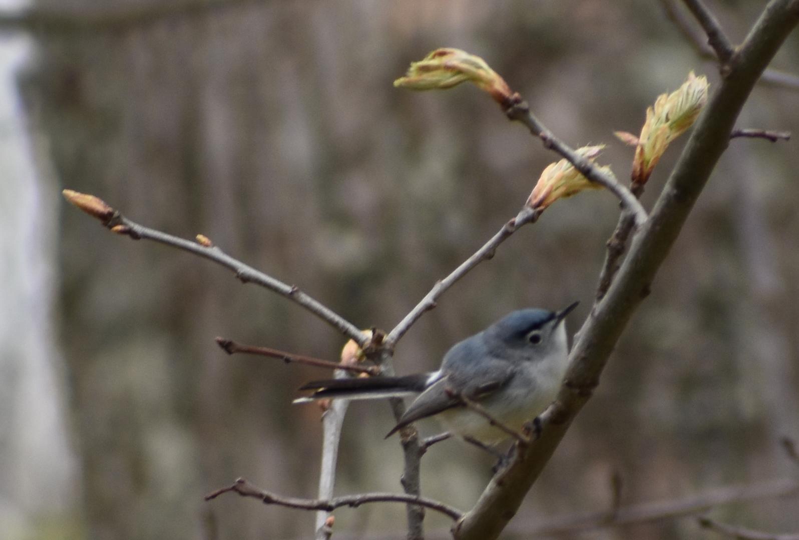 Blue Gray Gnatcatcher in Red Oak