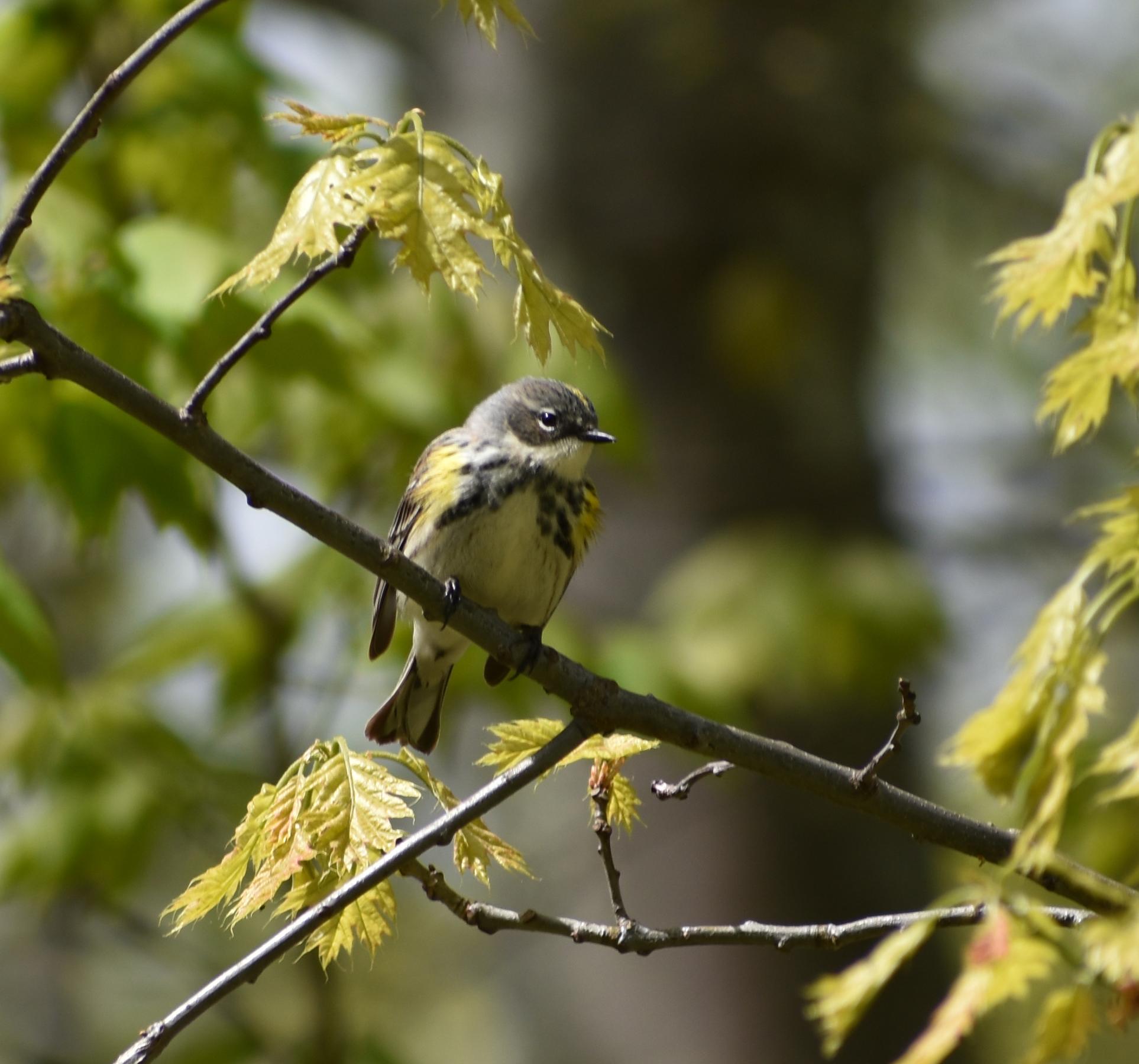 Yellow-Rumped Warbler in Red Oak