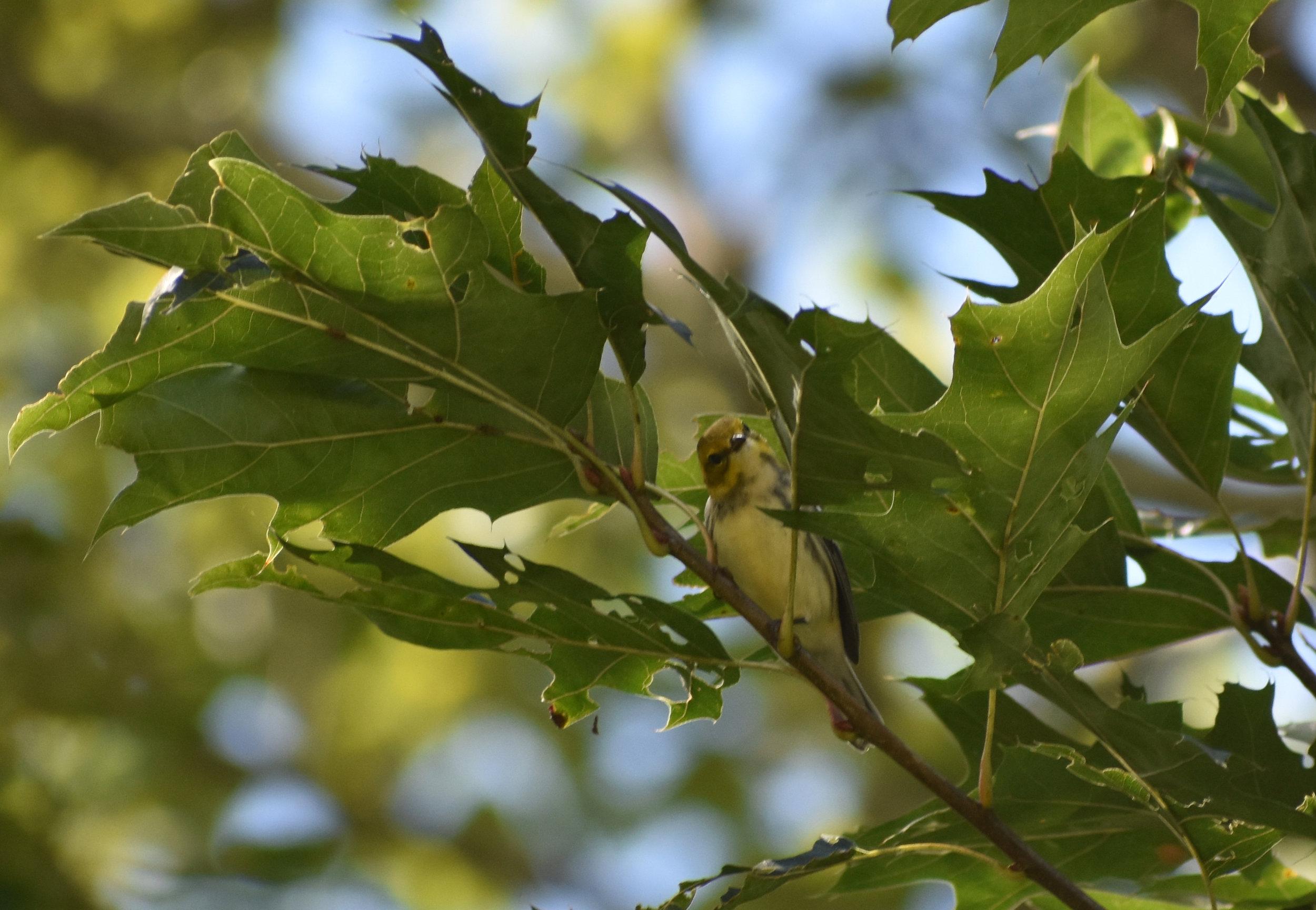 Black-Throated Green Warbler in Red Oak