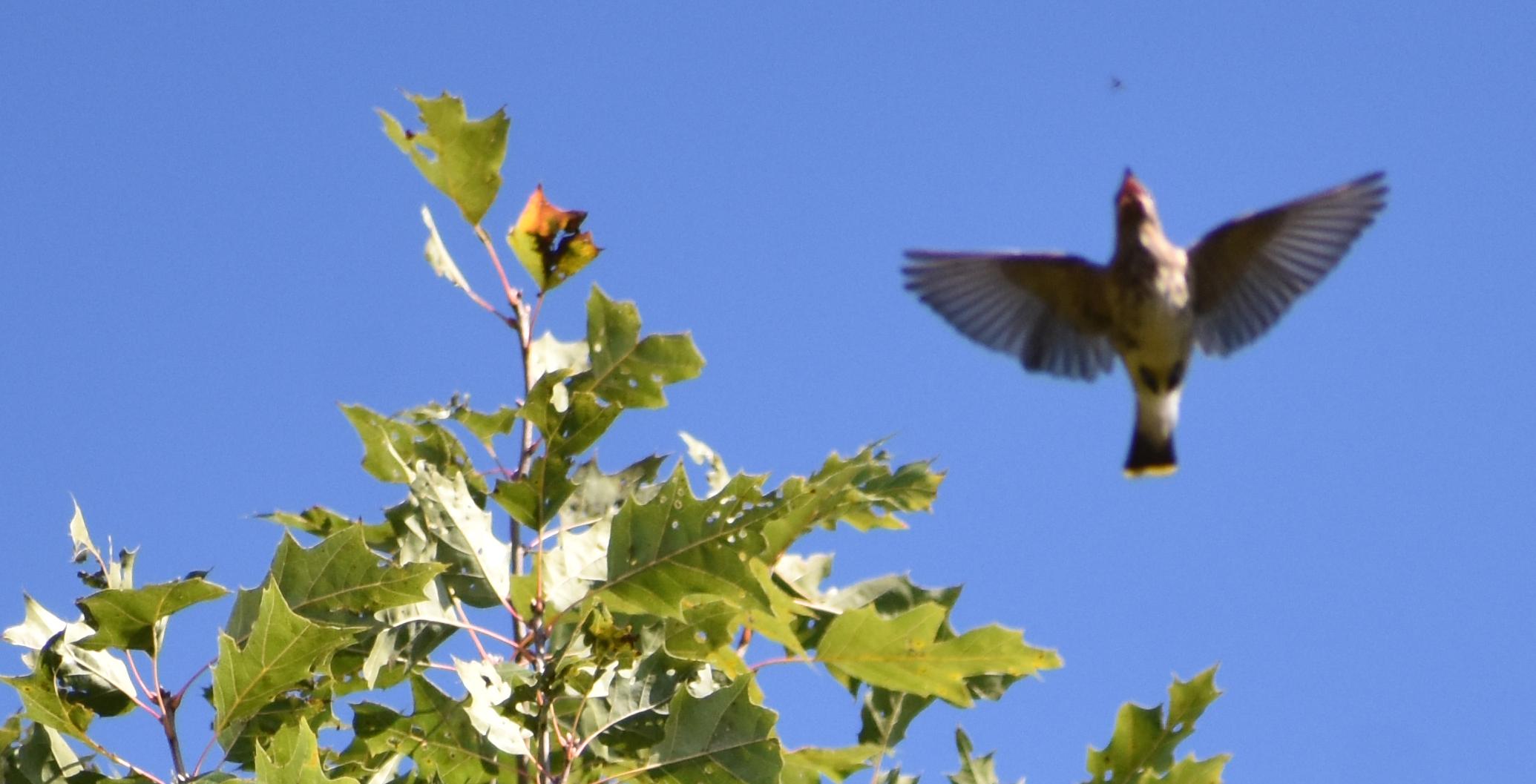 Cedar Waxwing flycatching out of Red Oak