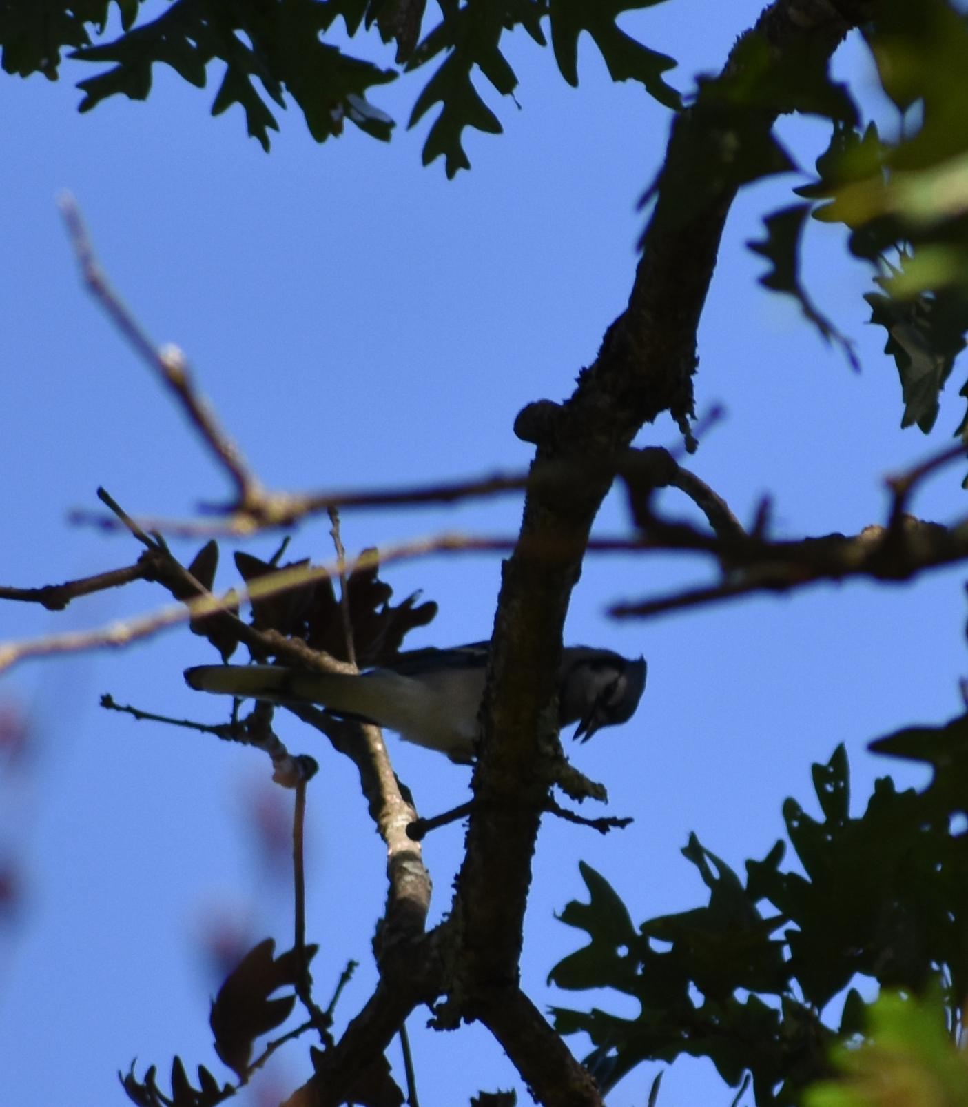 Blue Jay eating acorn in White Oak