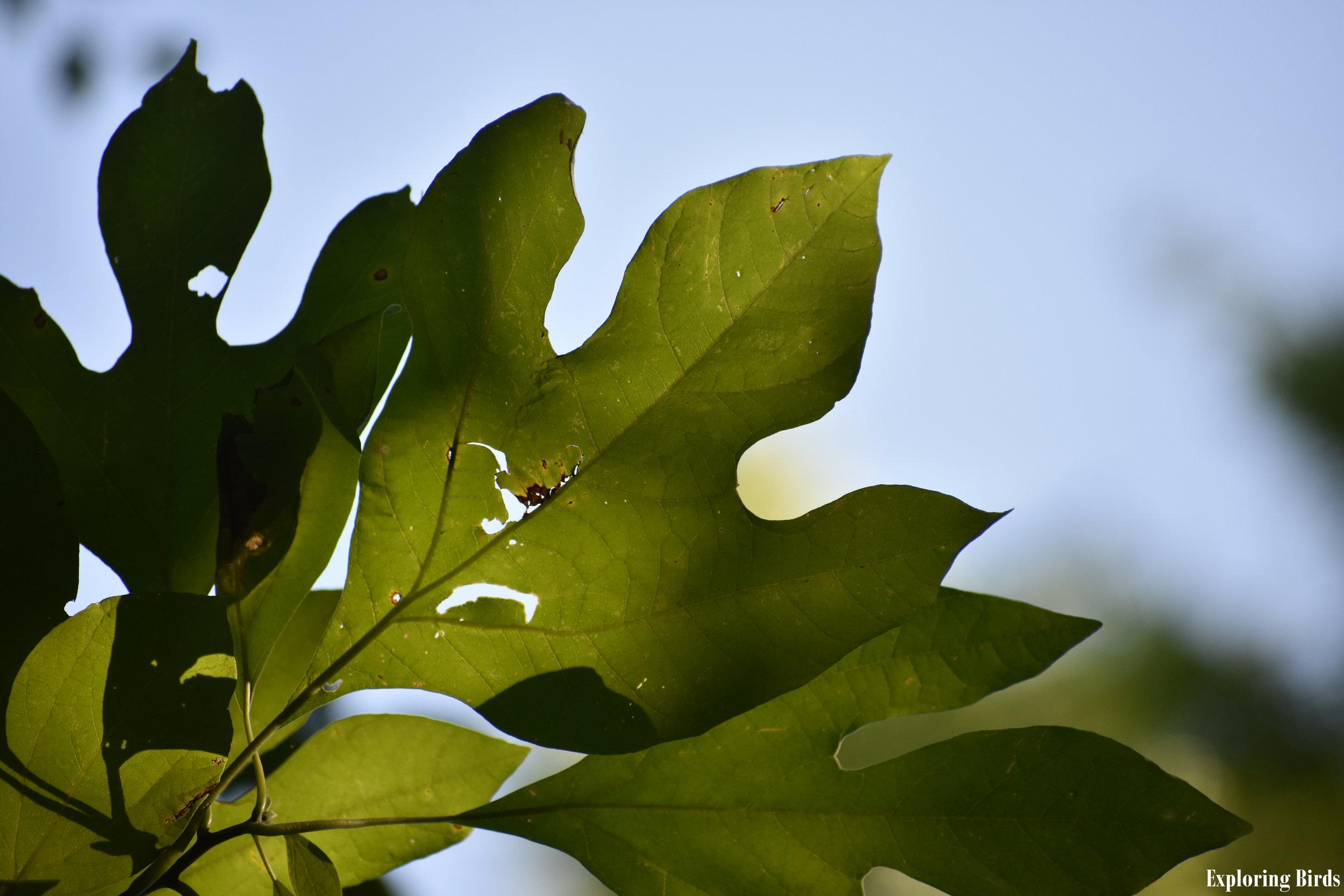 Sassafras is a tree that attracts birds