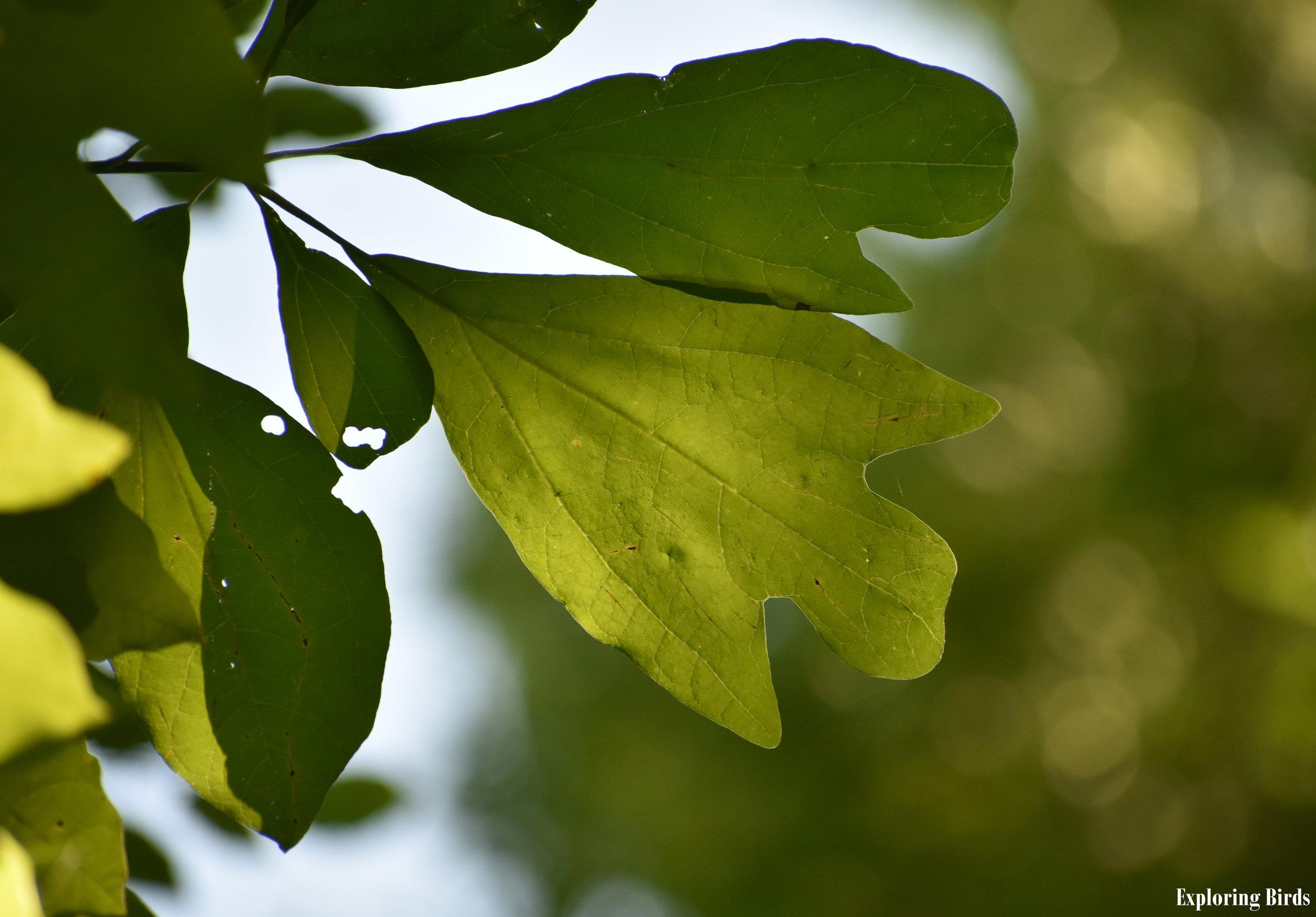 Sassafras attracts Cedar Waxwing