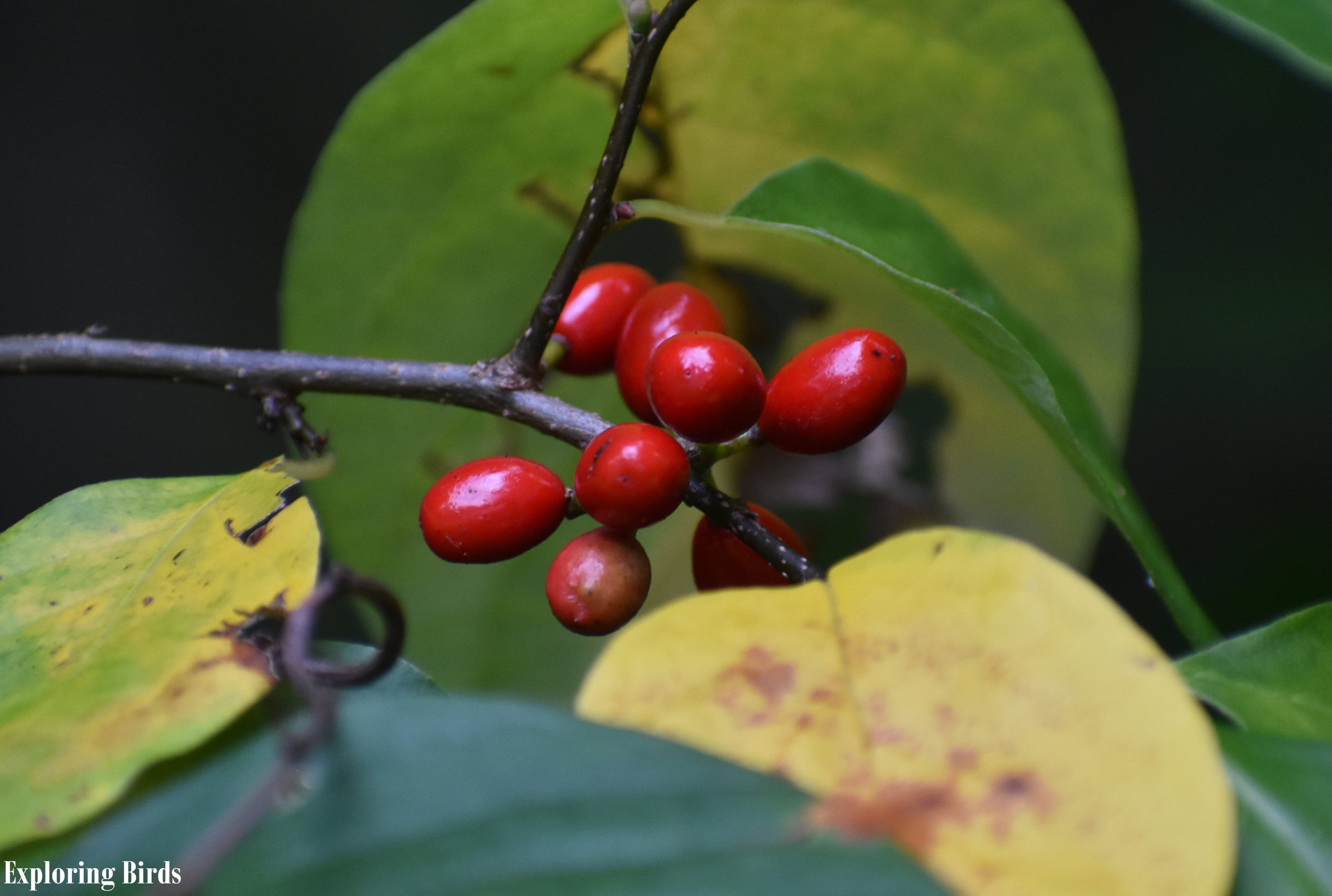 Spicebush is a shrub that attracts birds