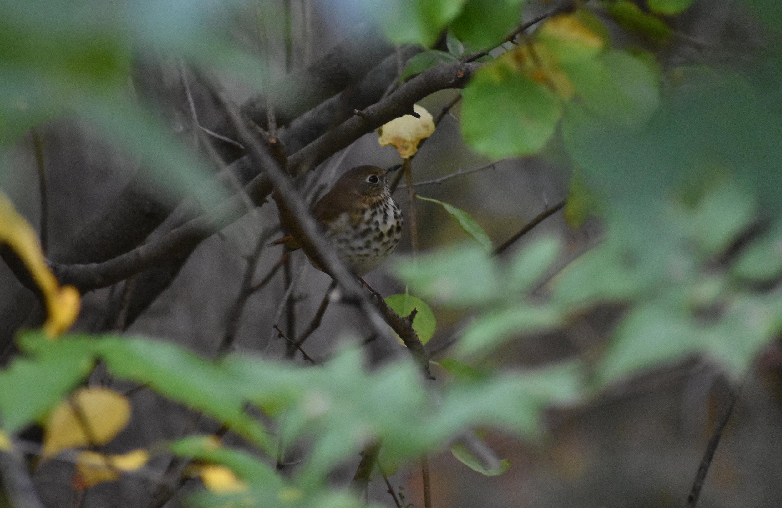 Hermit Thrush in Spicebush