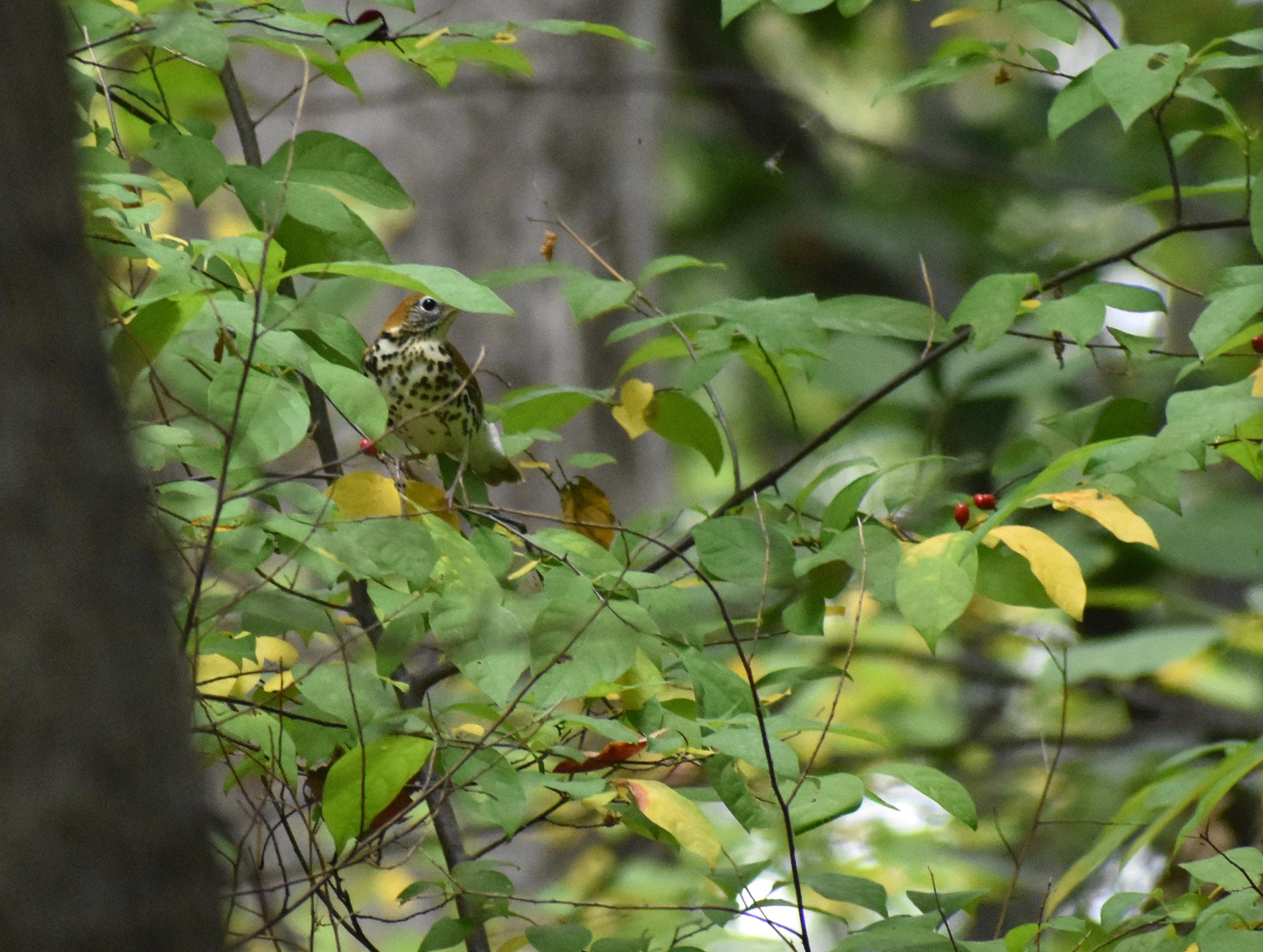 Wood Thrush in Spicebush