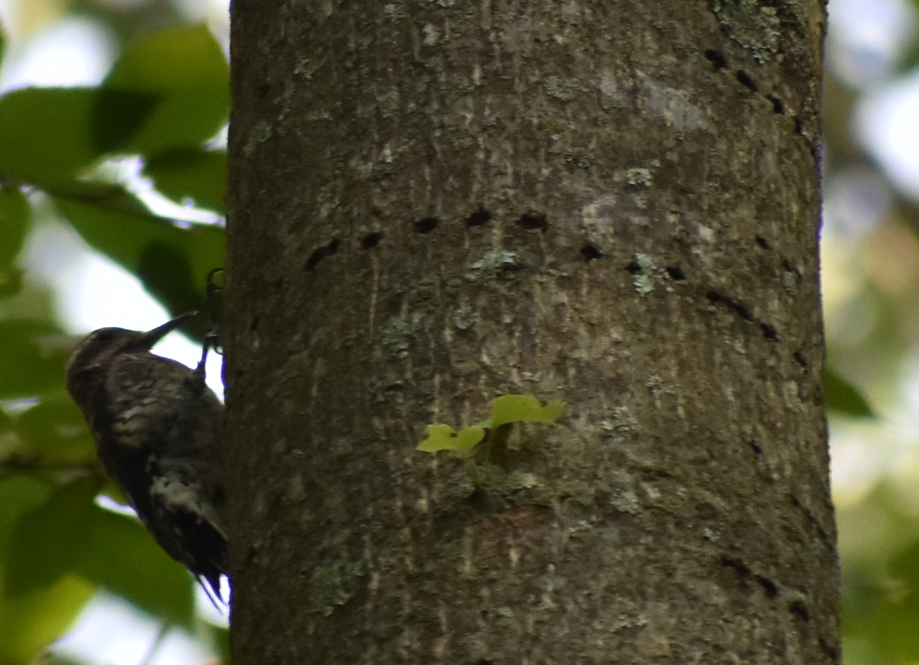 Yellow-Bellied Sapsucker drilling sapwells into Tulip-Poplar