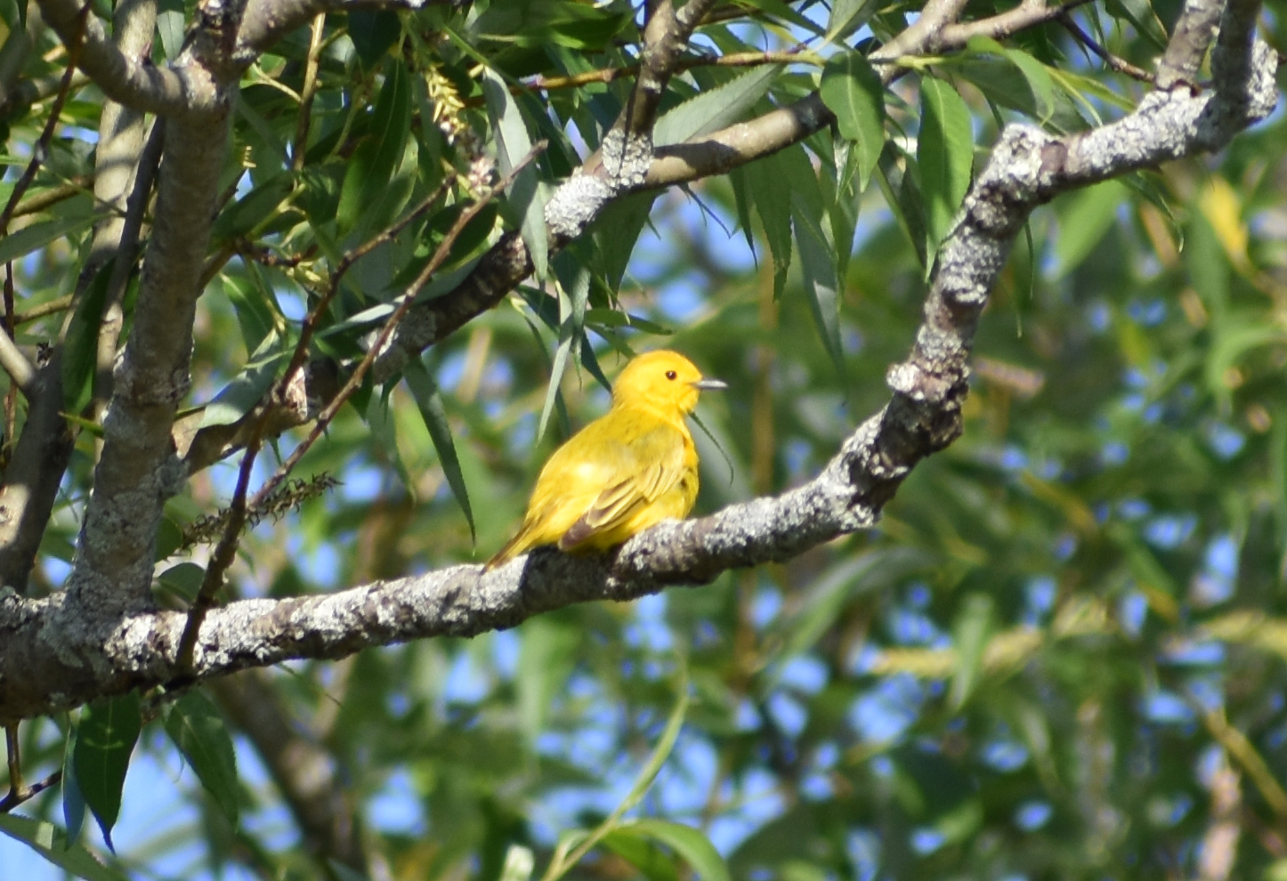 Yellow Warbler in Black Willow