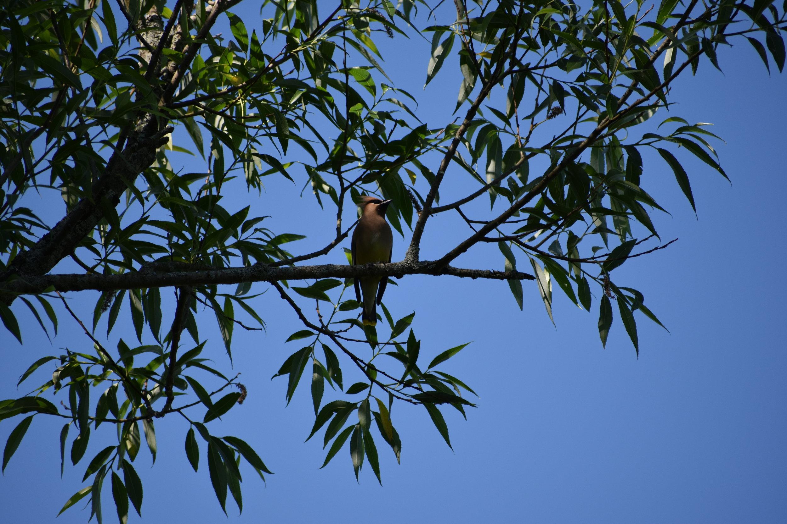 Cedar Waxwing in Black Willow