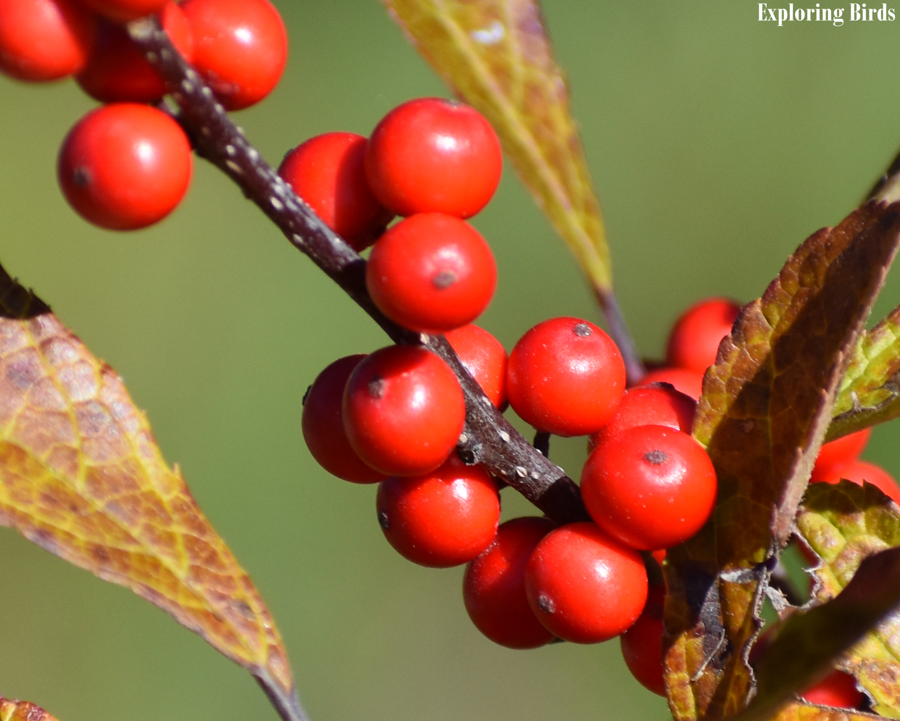Winterberry is a plant that attracts birds