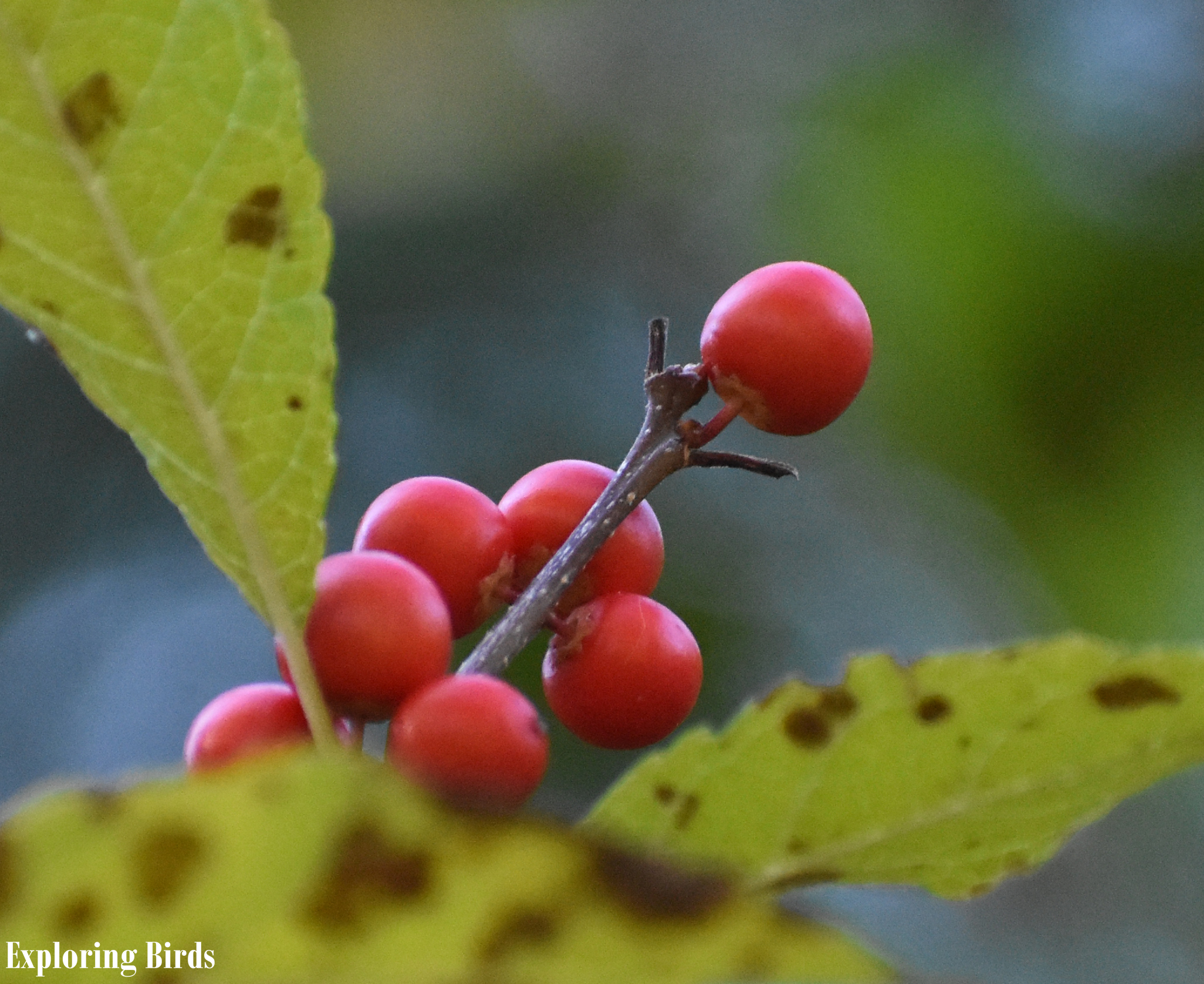 Winterberry is a shrub that attracts birds