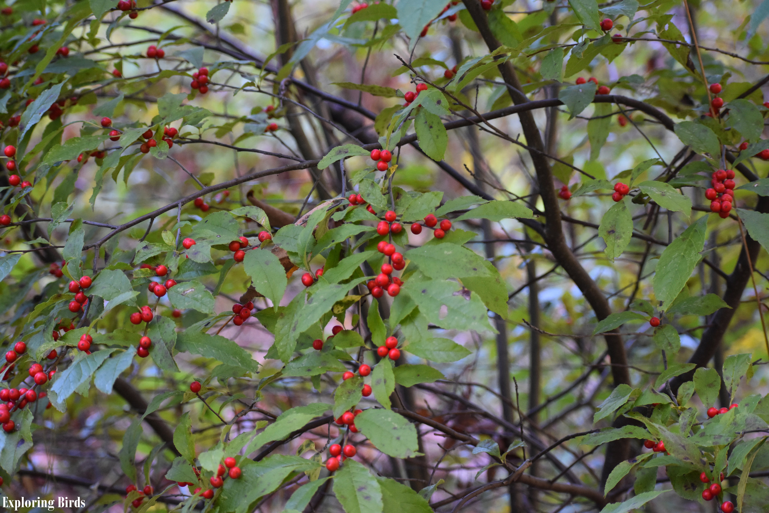 Attracting Birds with Winterberry