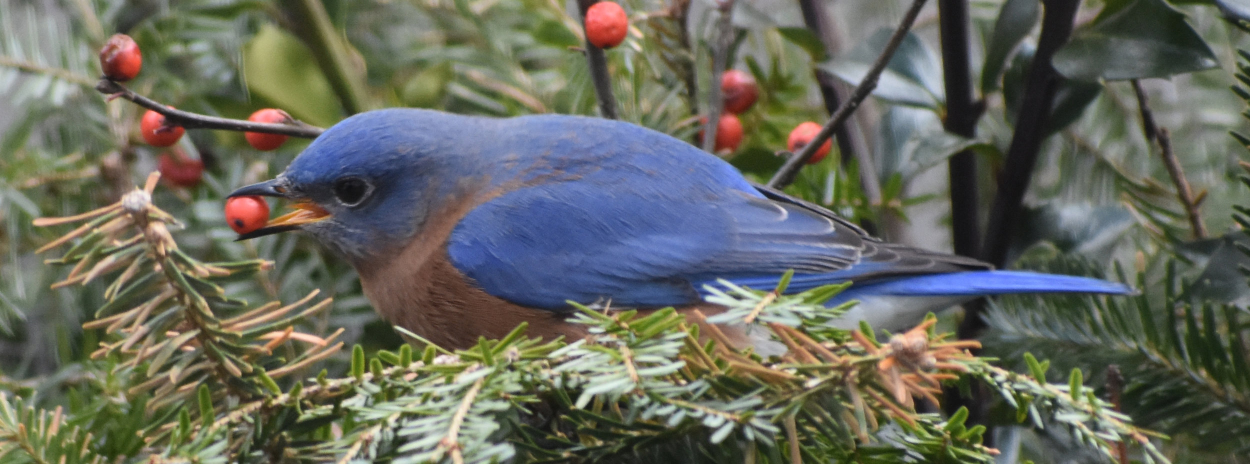 Bluebird eating Winterberry from Christmas Decoration