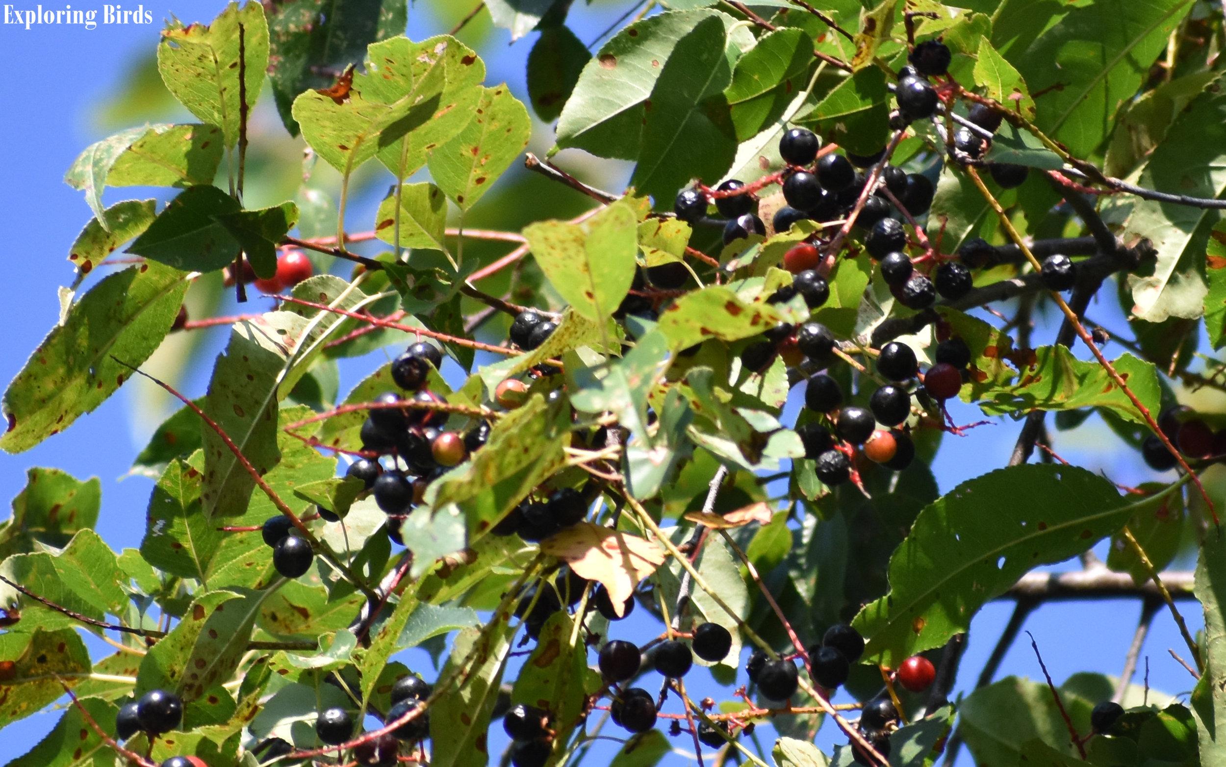 Wild Black Cherry identification