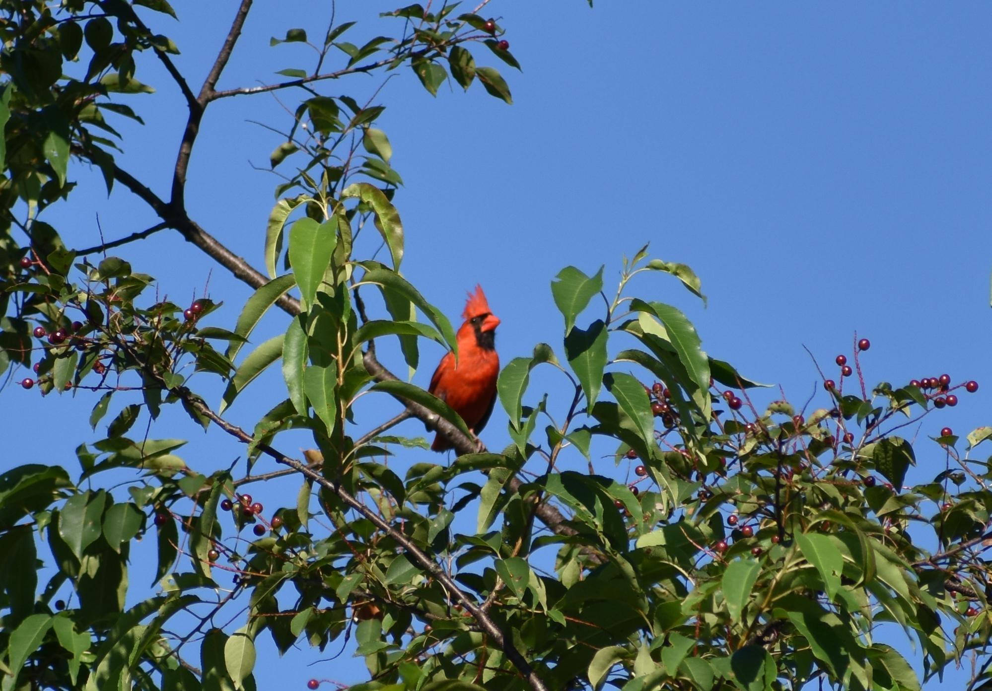 Northern Cardinal in Wild Cherry