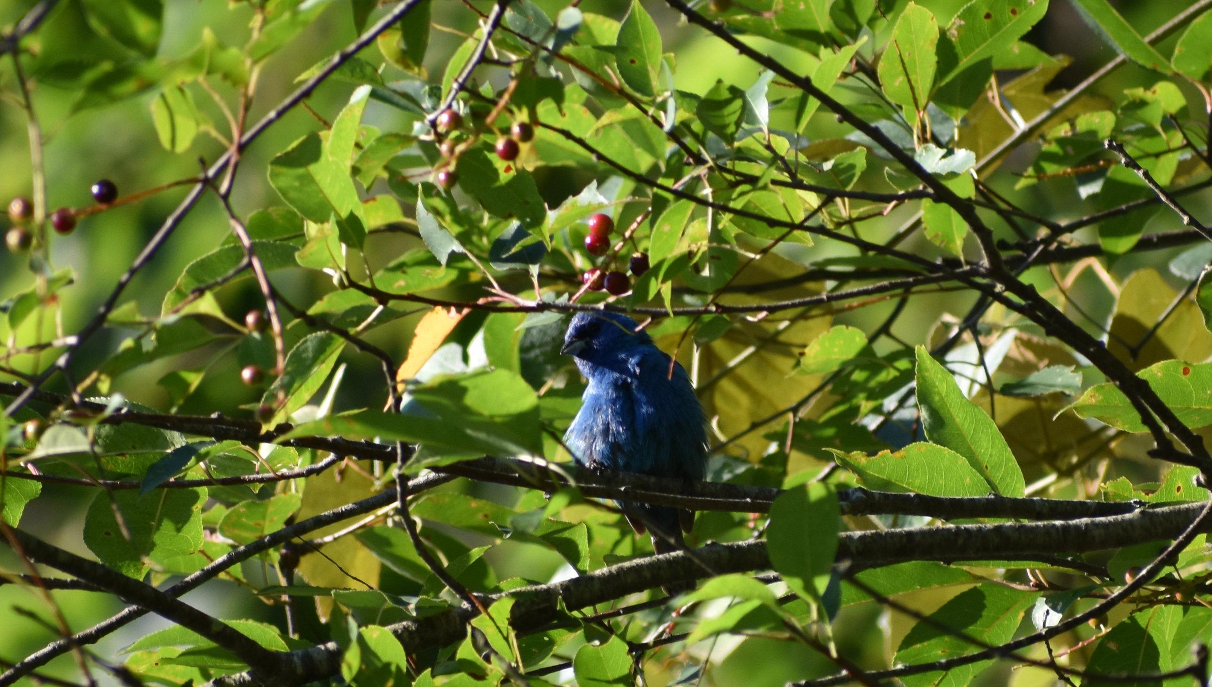 Indigo Bunting in Wild Cherry