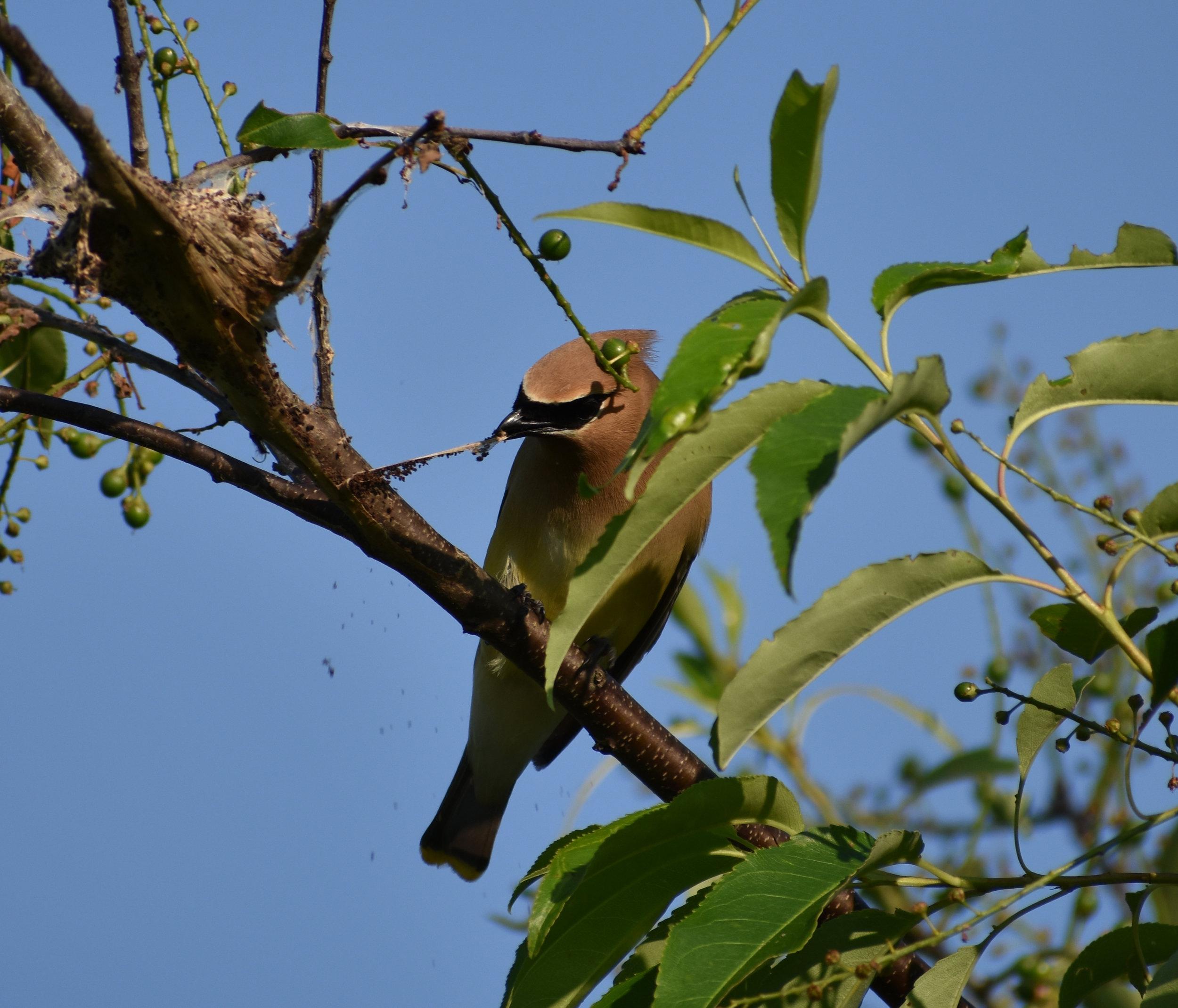 Cedar Waxwing raiding caterpillar nest in Wild Cherry