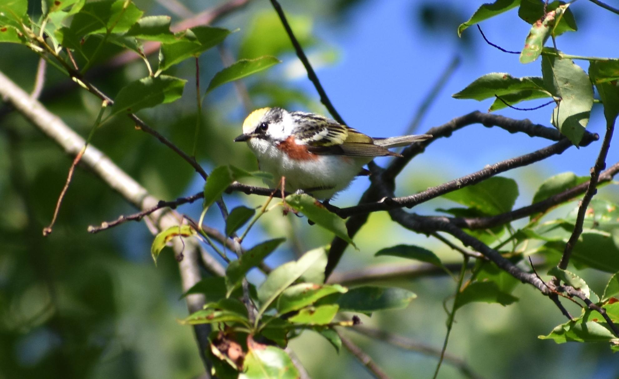 Chestnut-Sided Warbler in Wild Cherry