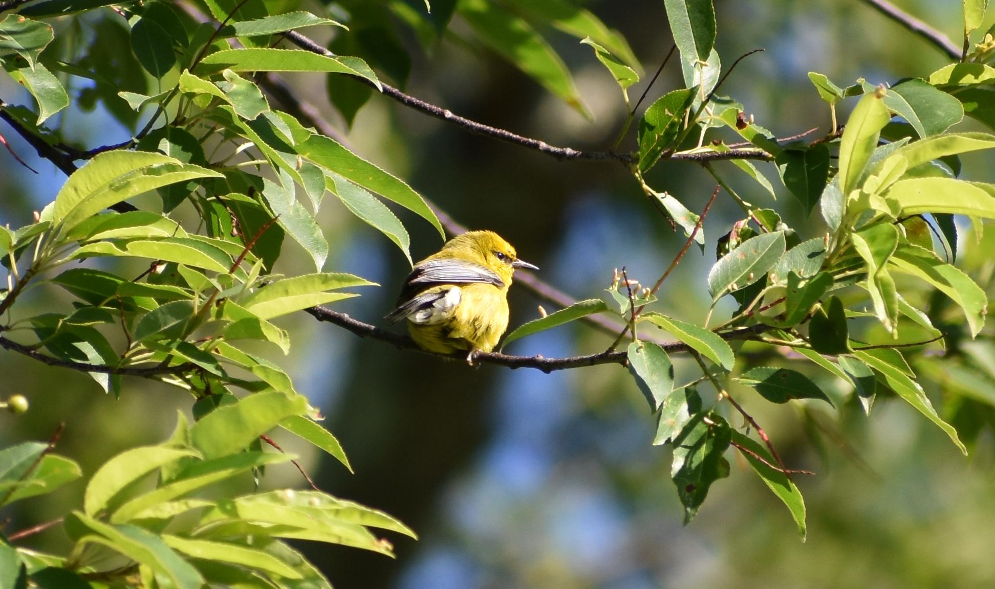 Blue-Winged Warbler in Wild Cherry