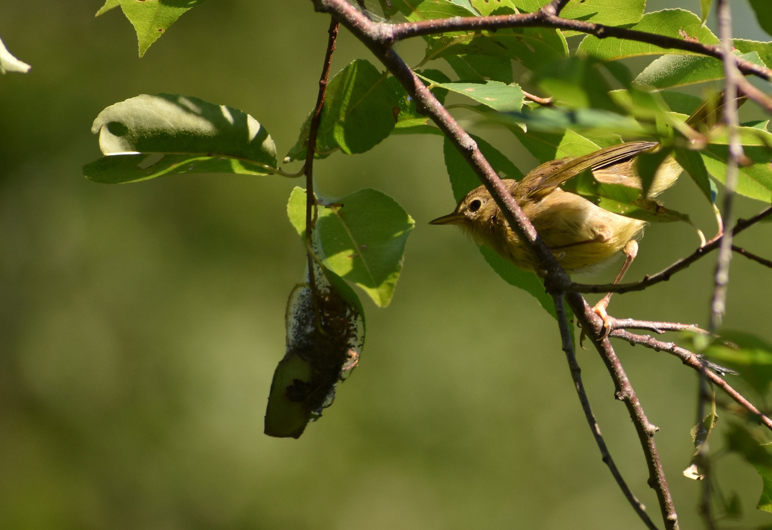 Common Yellowthroat eating insects in Wild Cherry