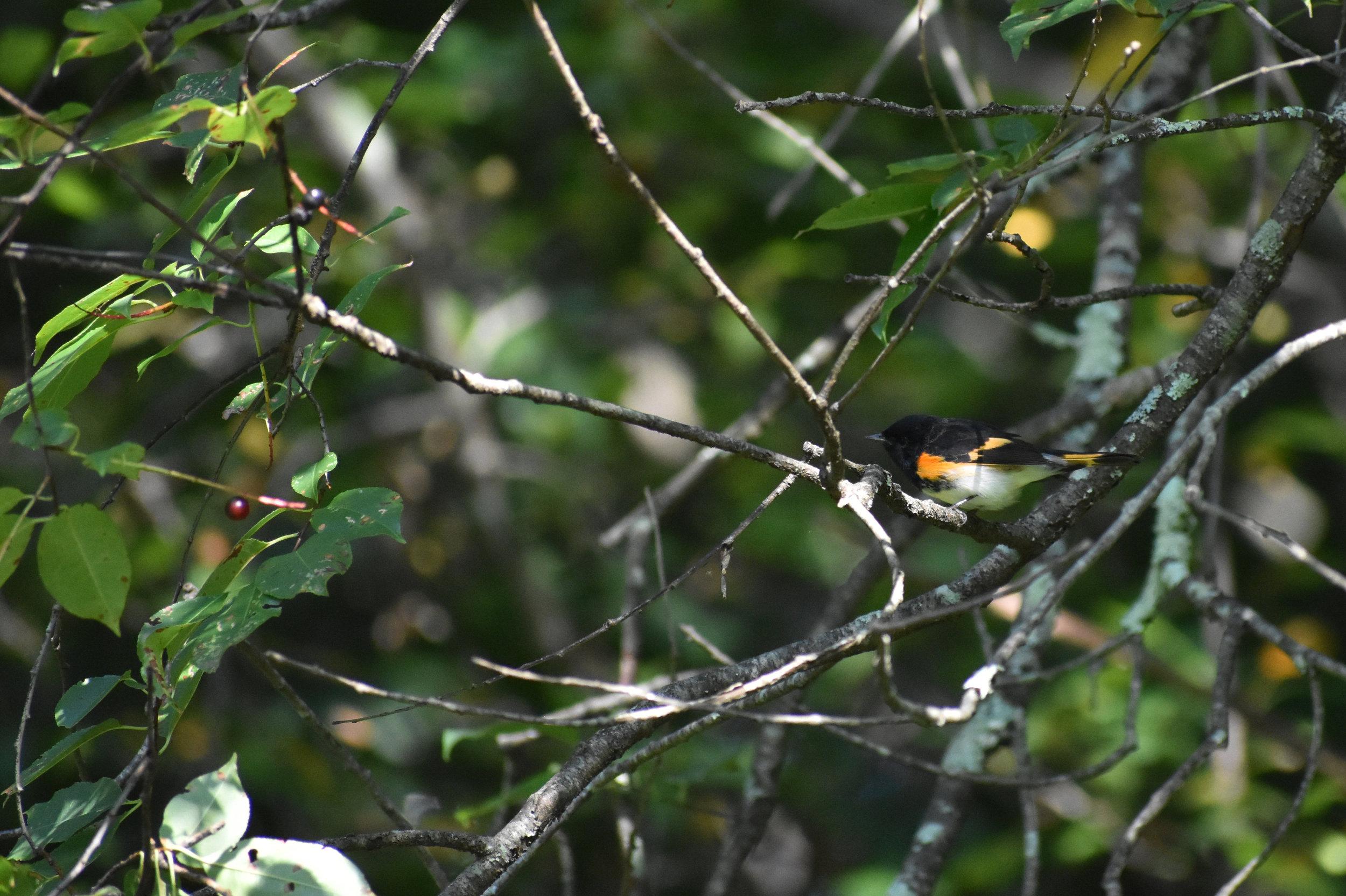 American Redstart in Wild Cherry