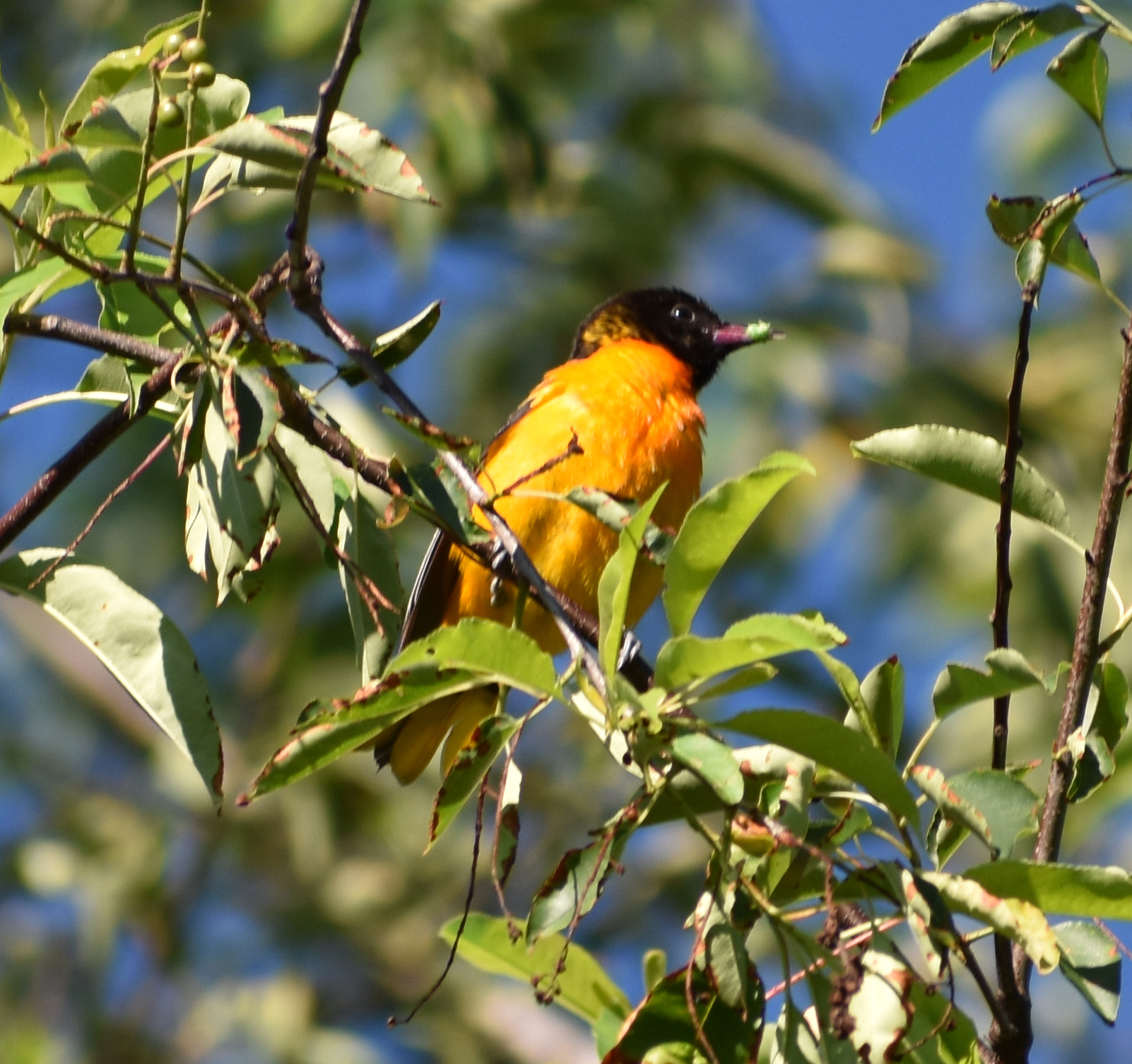Baltimore Oriole eating caterpillar in Wild Cherry