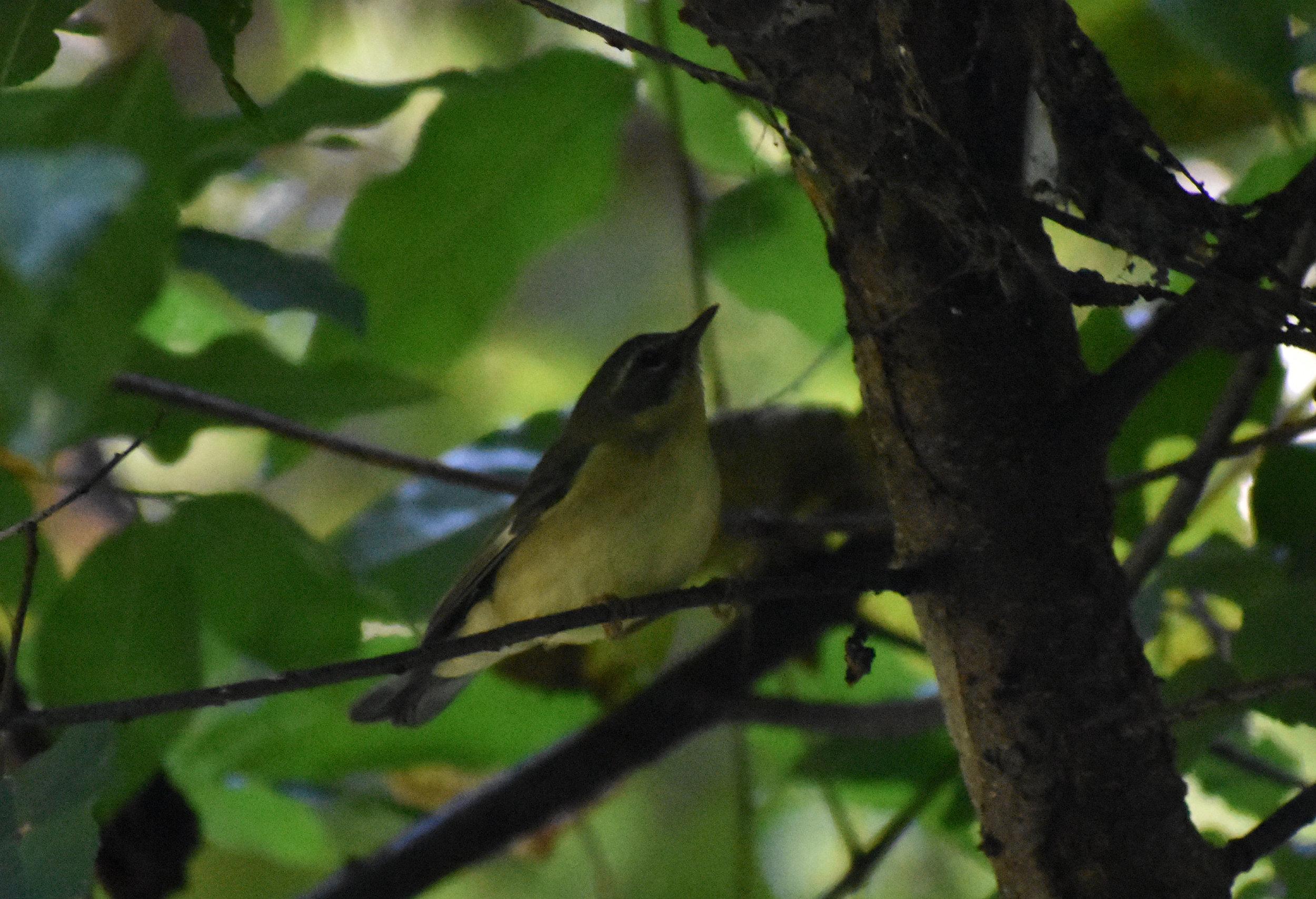 Black-Throated Blue Warbler in Wild Cherry