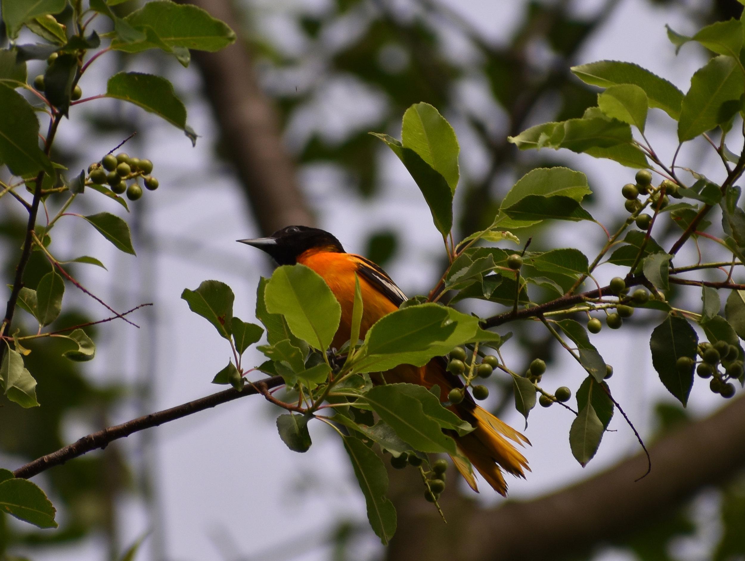 Baltimore Oriole in Wild Cherry