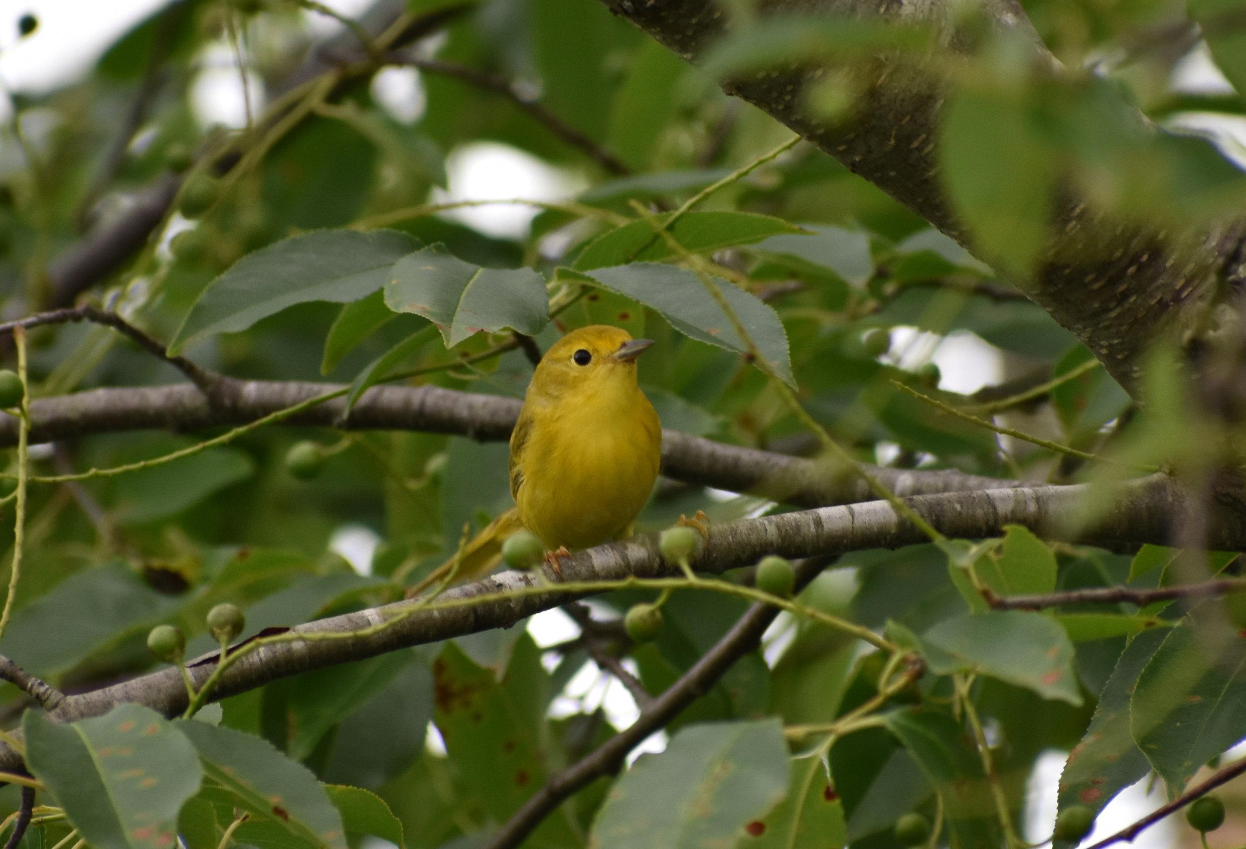 Yellow Warbler in Wild Cherry