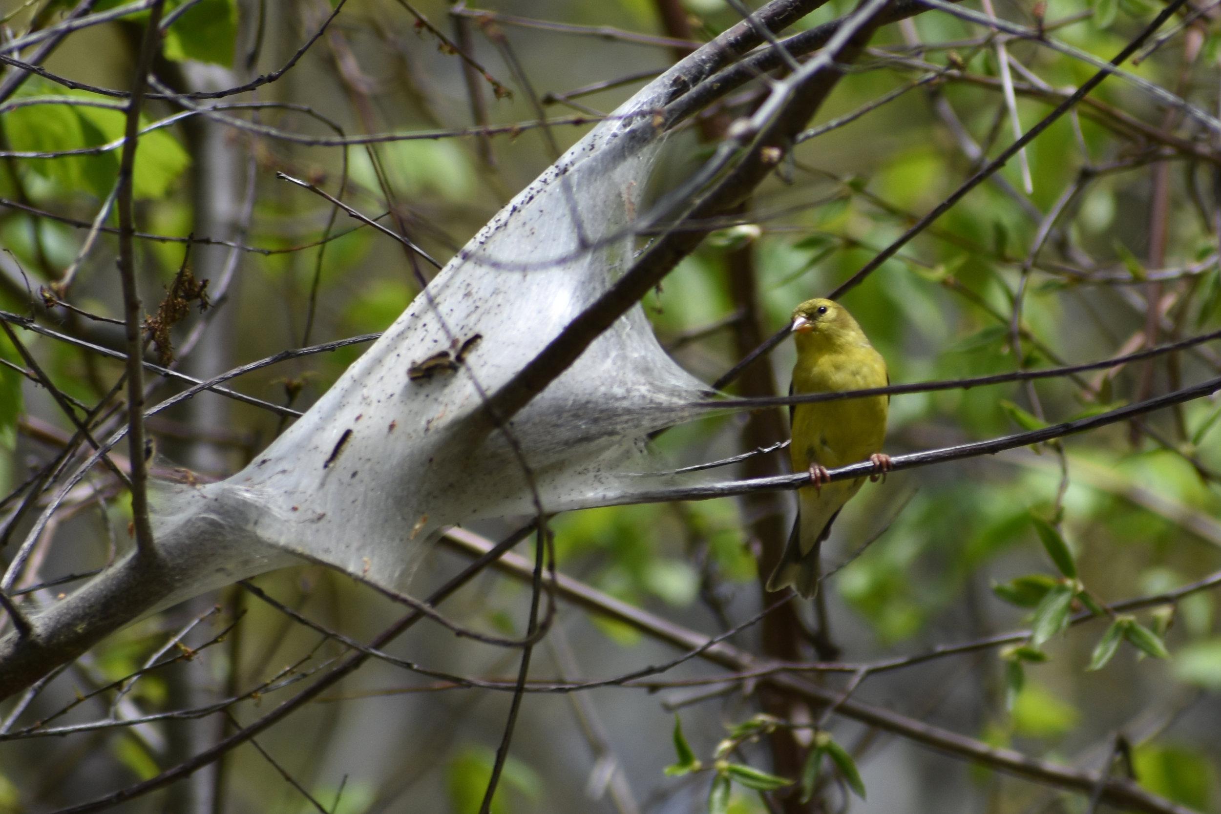 American Goldfinch raiding caterpillar nest in Wild Cherry