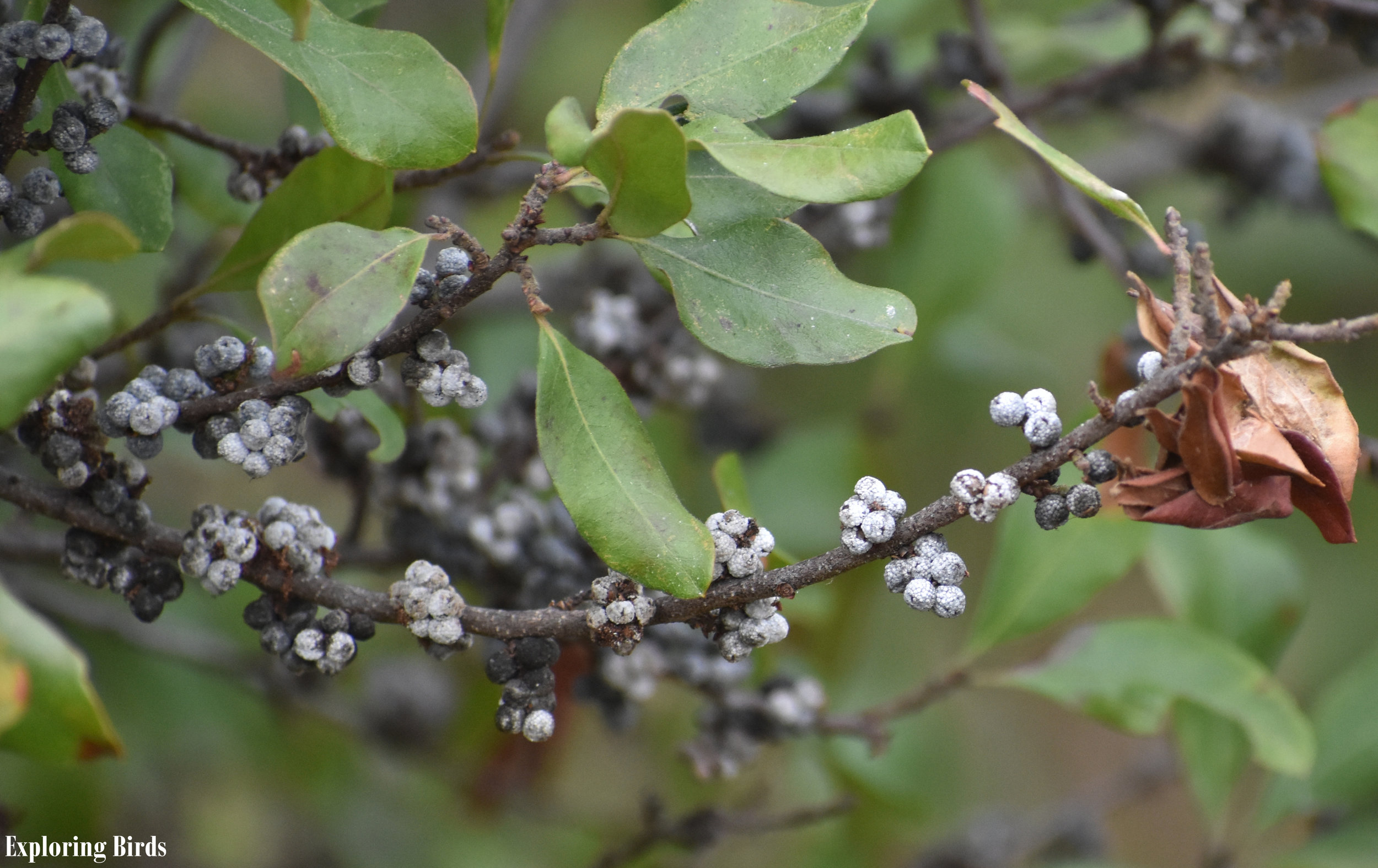 Northern Bayberry is a shrub that attracts birds