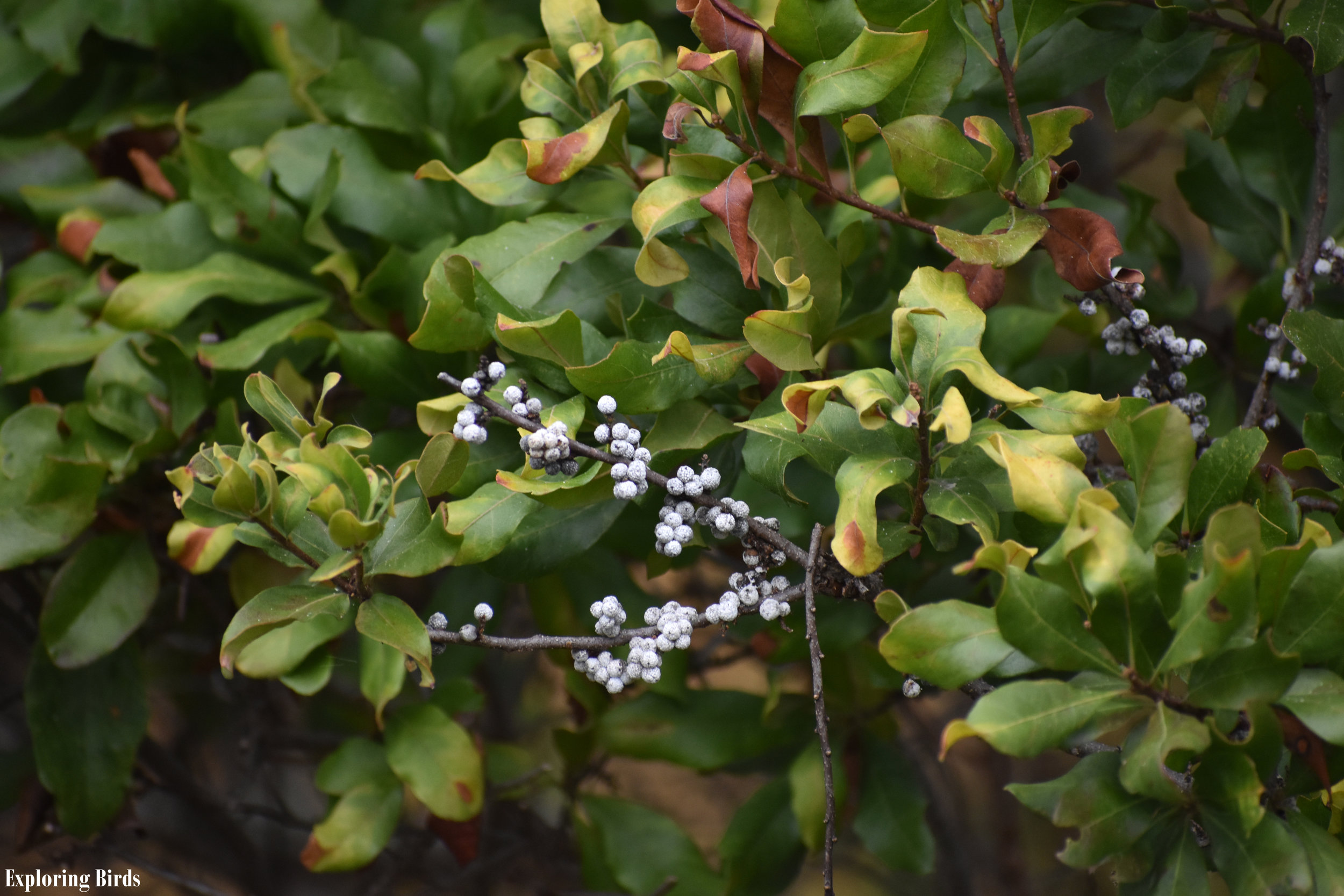 Northern Bayberry Identification